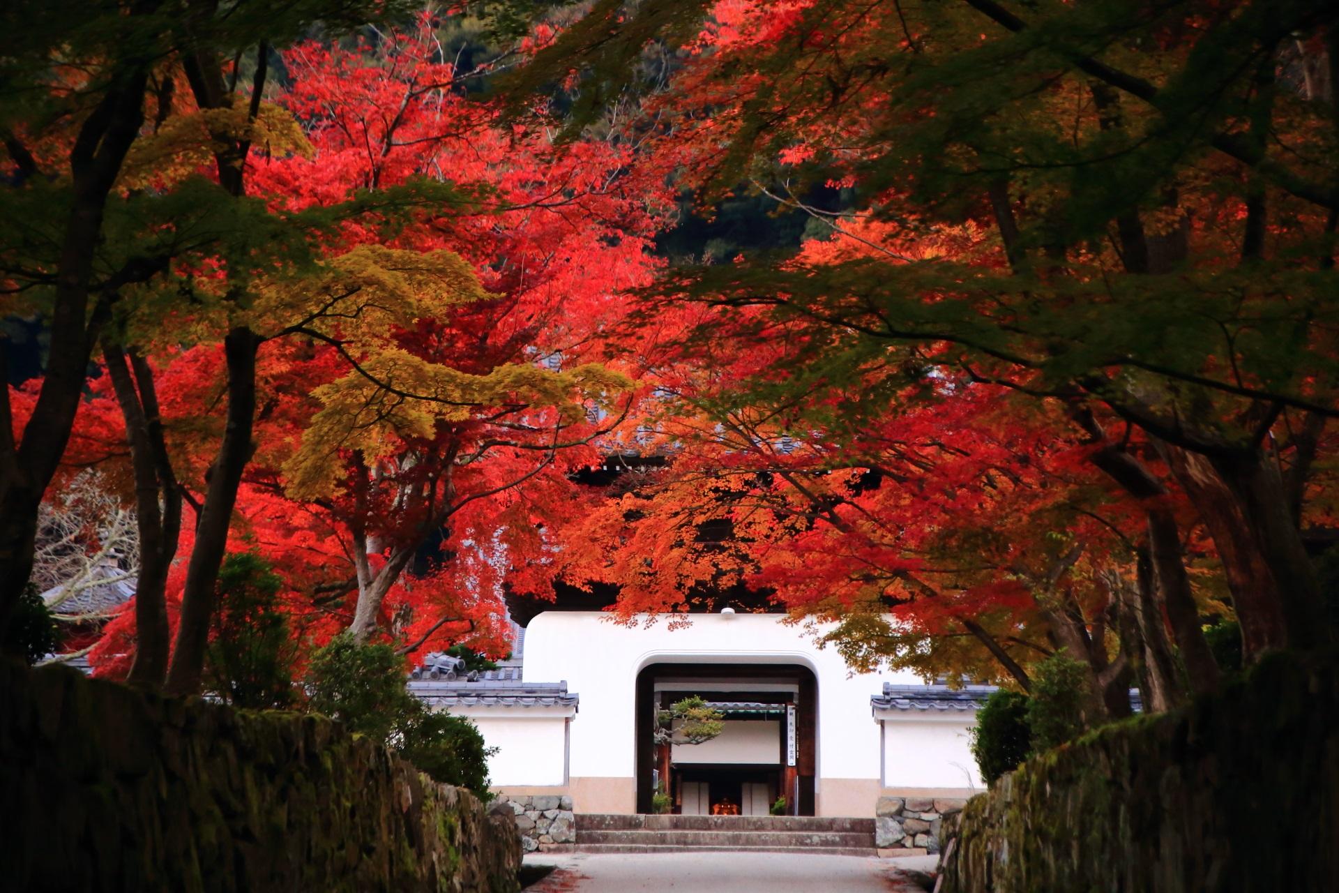 琴坂の多彩な紅葉につつまれる興聖寺の白い山門と秋色のトンネル