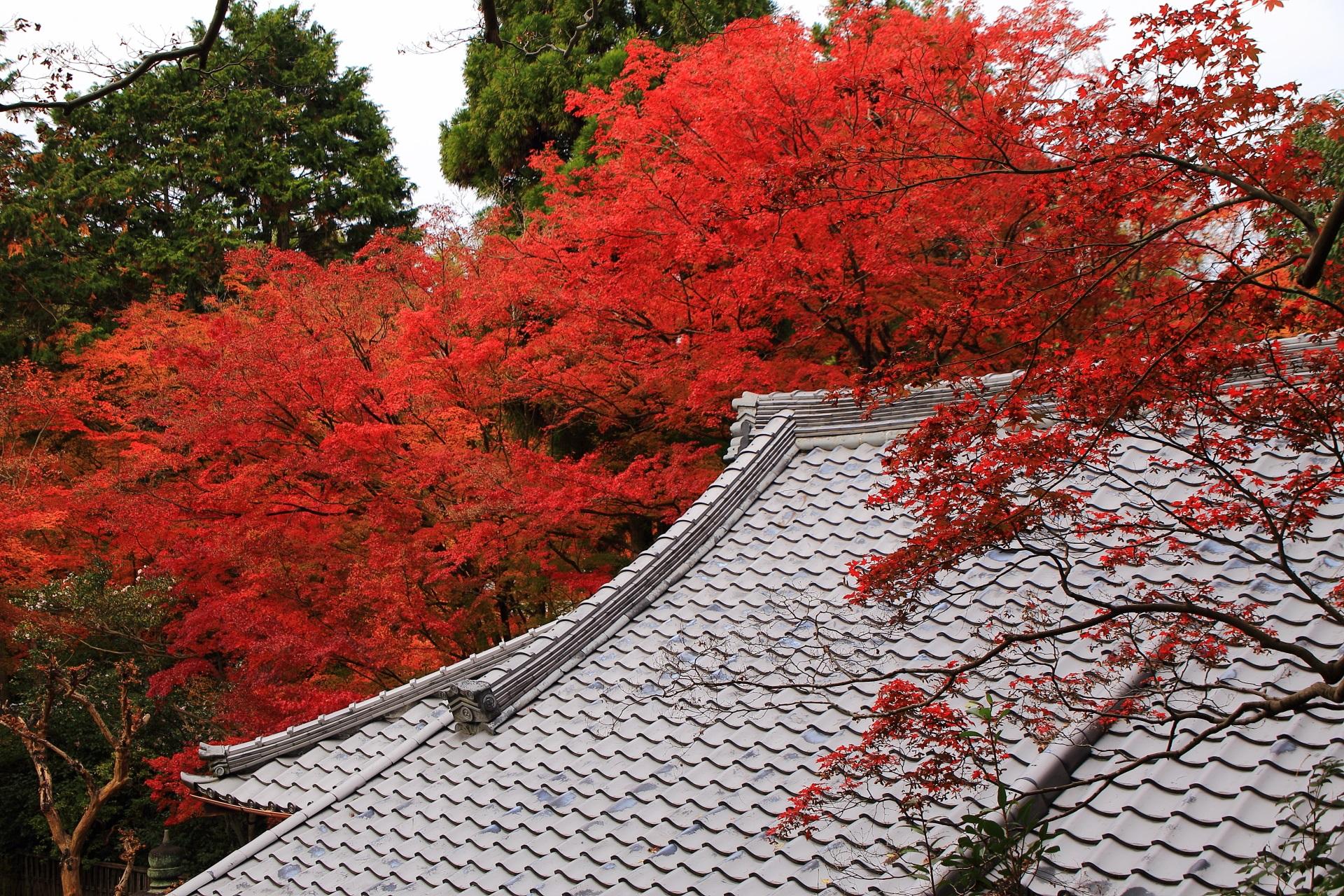 来迎院の本堂上の溢れ出す鮮やかな紅葉