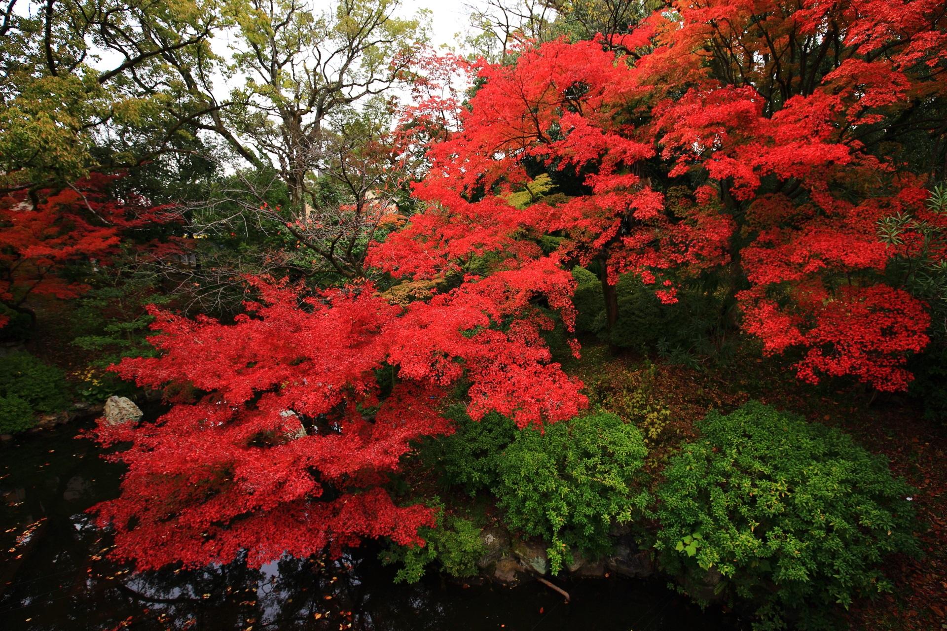 大谷本廟の超見ごろの溢れ出す真っ赤な紅葉