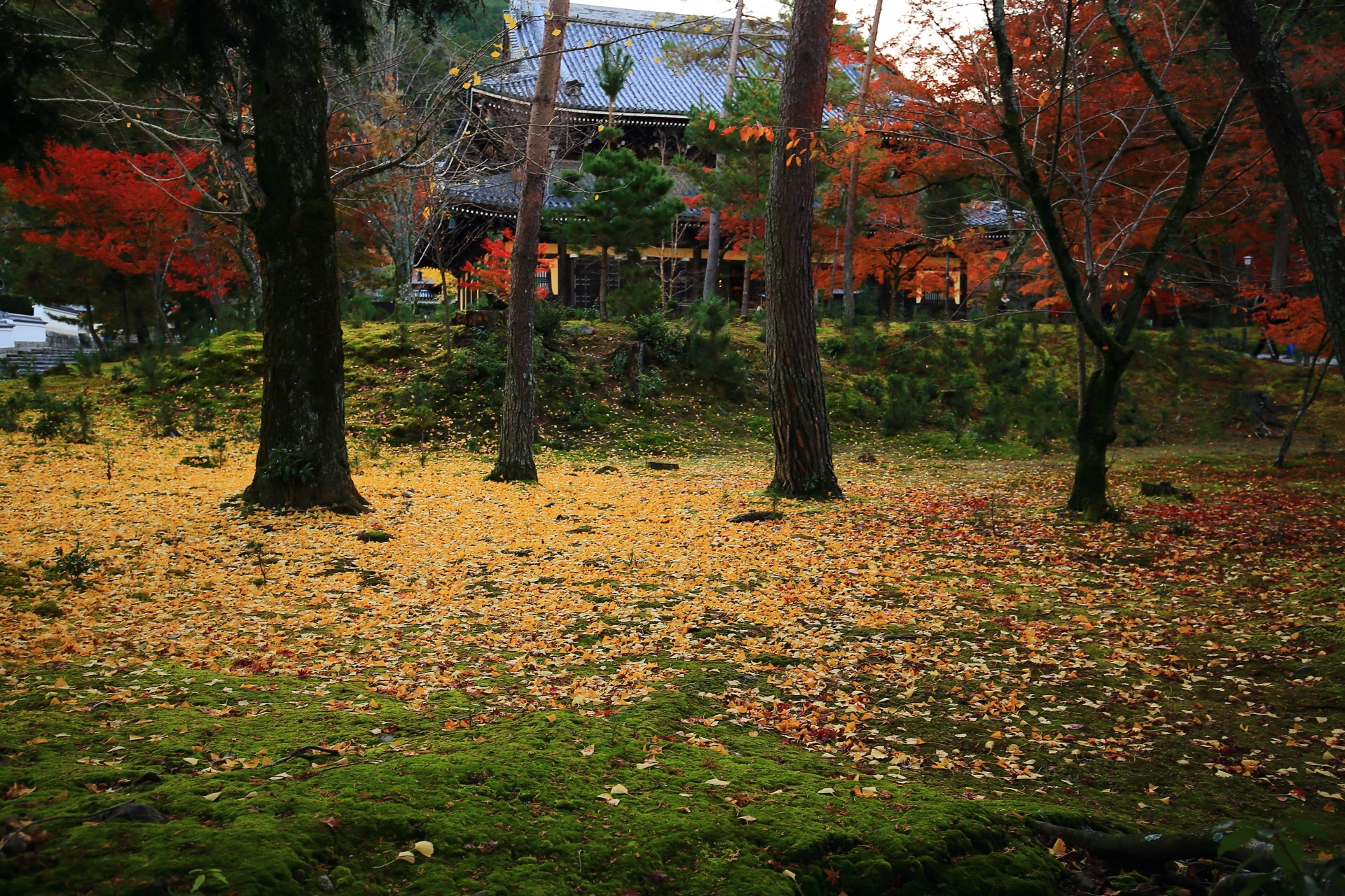 南禅寺の法堂前の苔を染める散り銀杏と紅葉