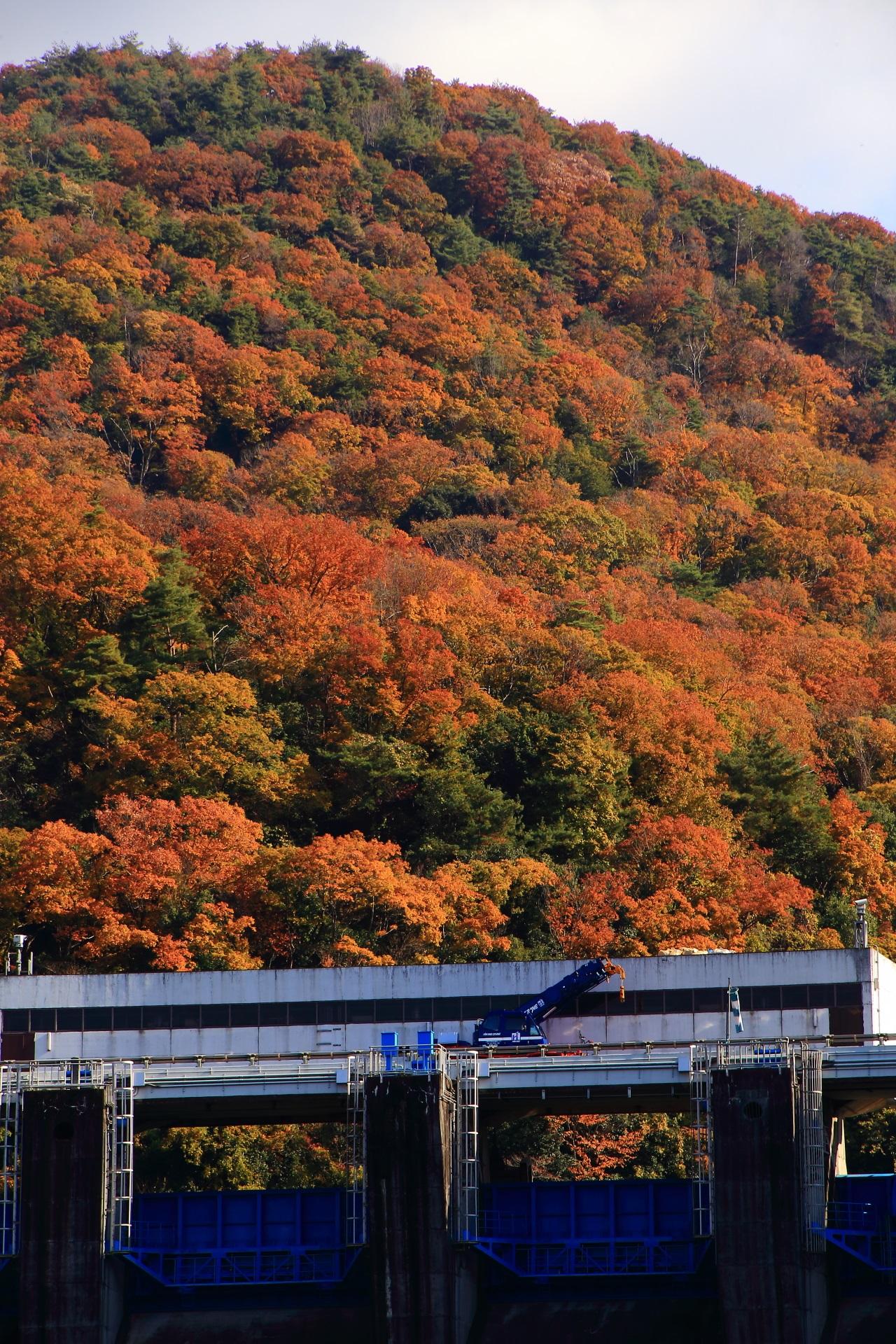 圧倒的な紅葉につつまれる秋の天ヶ瀬ダム