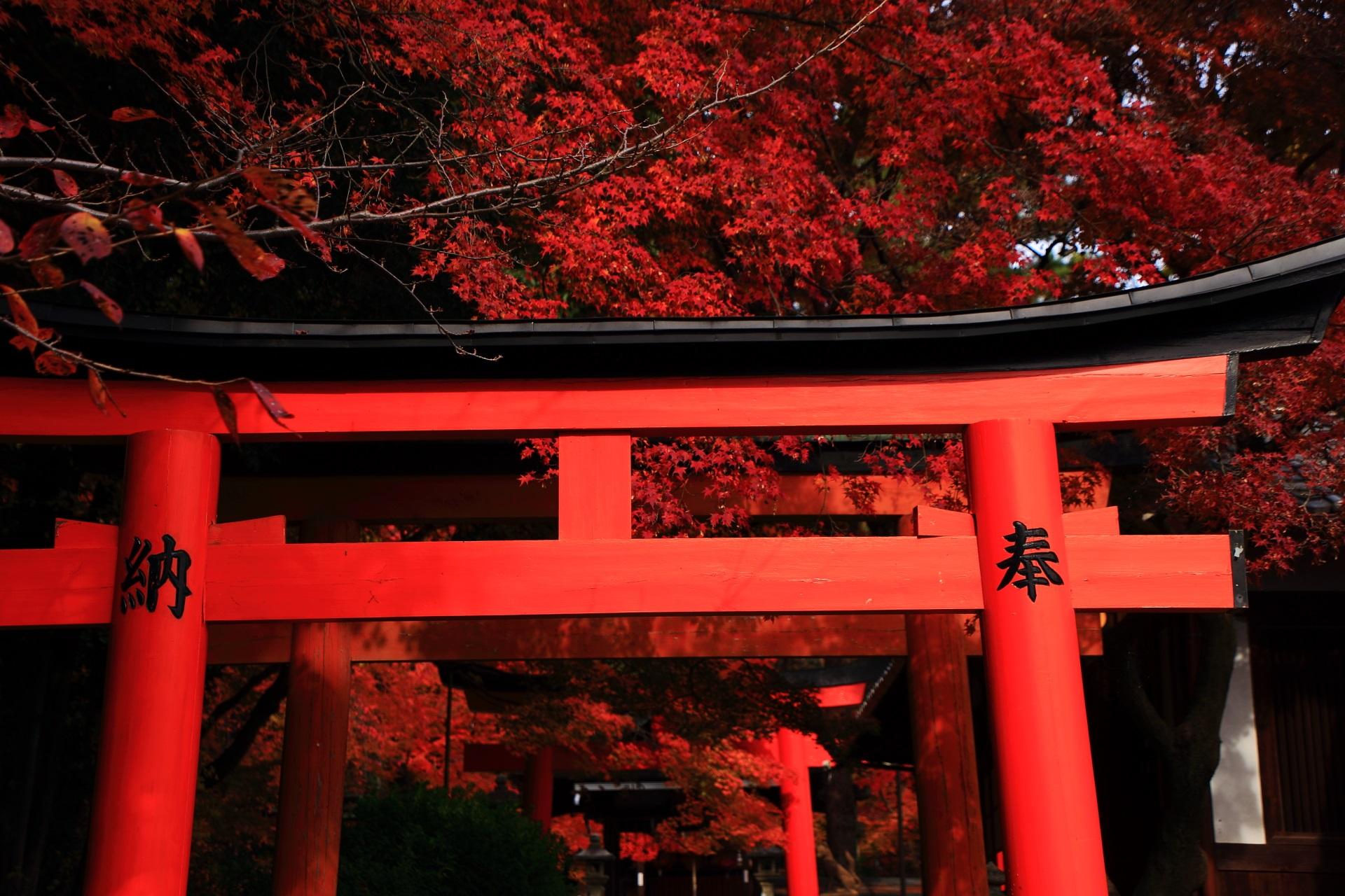 竹中稲荷神社の赤い鳥居を彩る真っ赤な紅葉