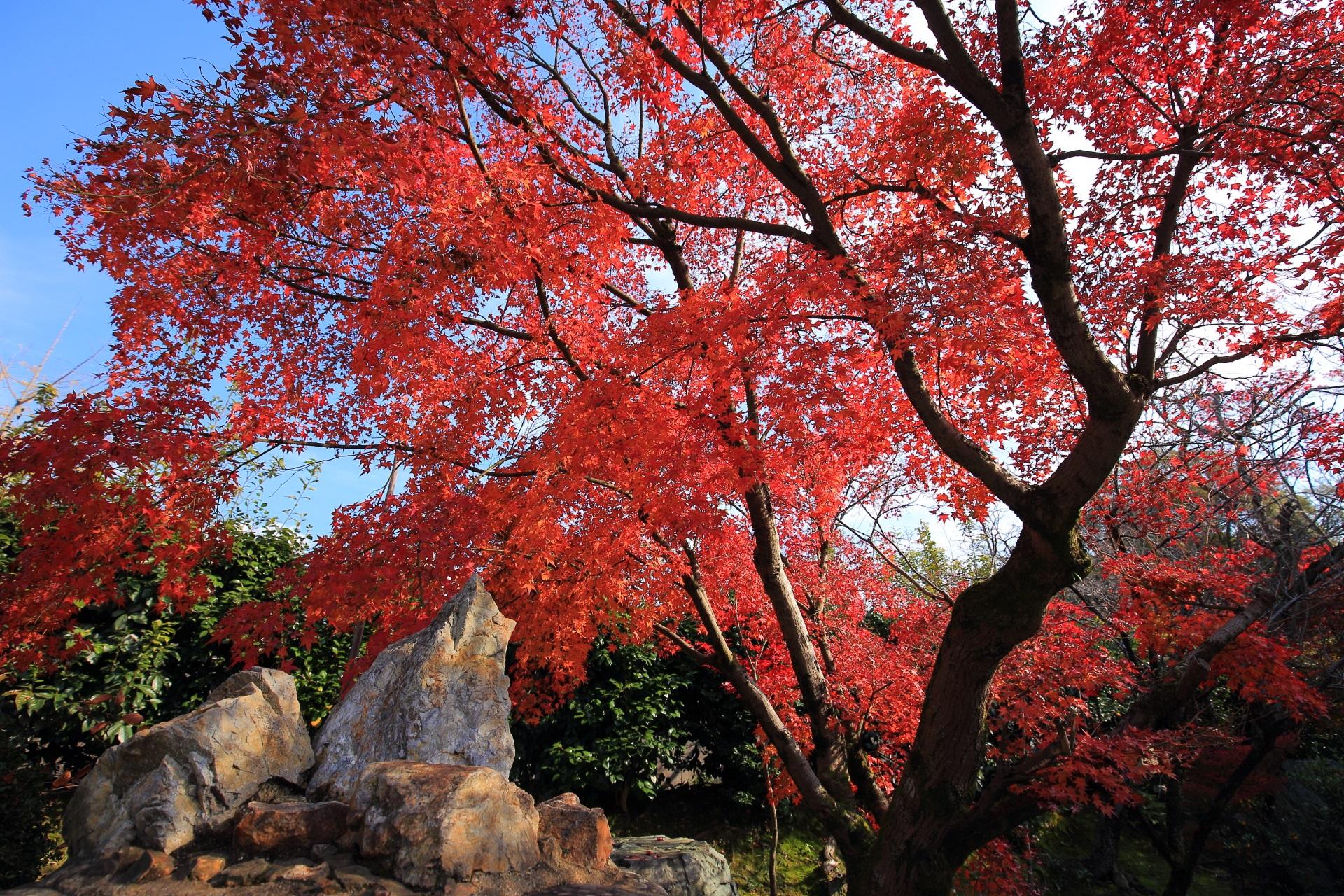 宸殿向かいの良く色づいた赤い紅葉