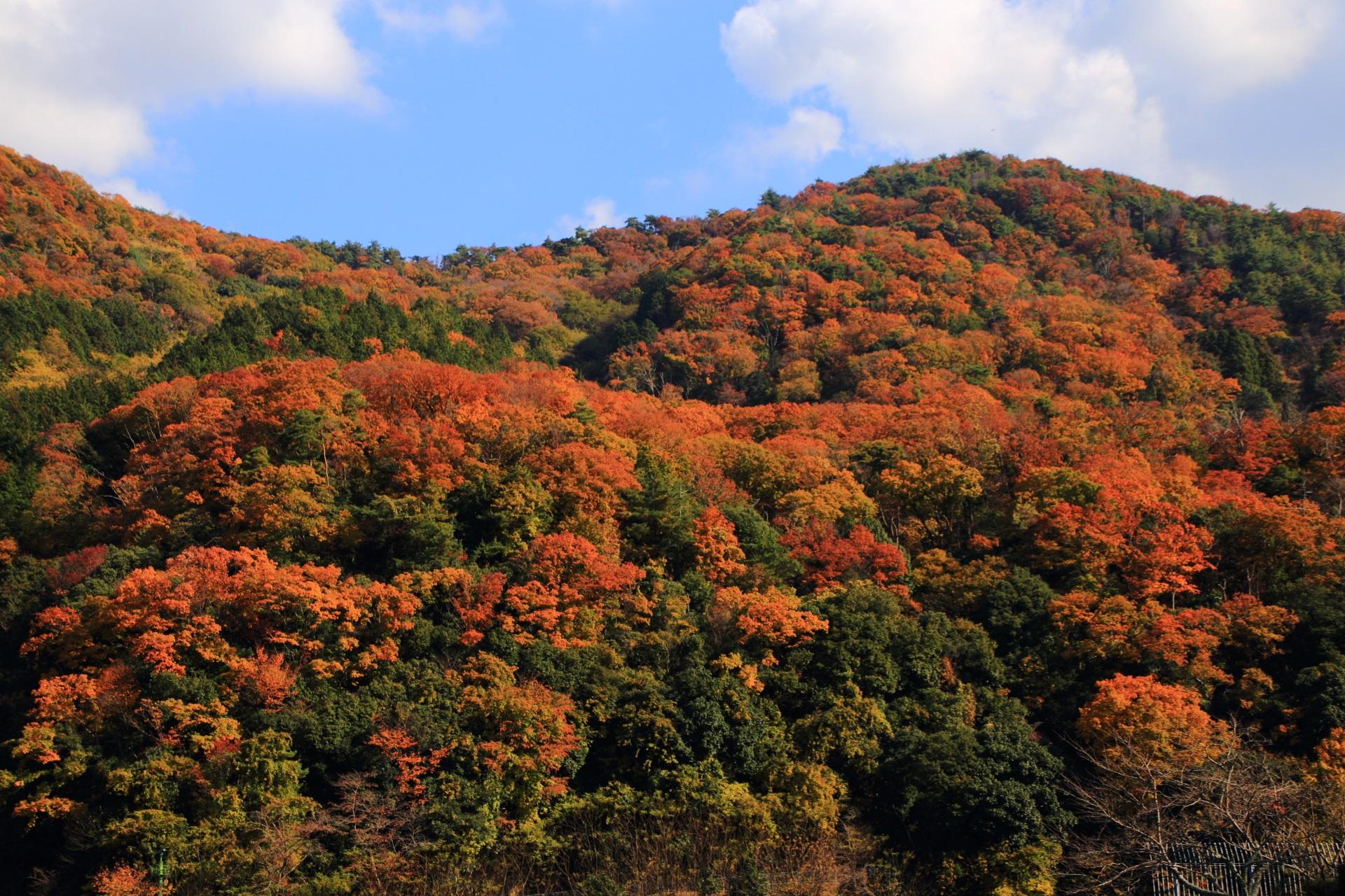 圧巻の秋色に染まった天ヶ瀬ダム背後の宇治槇尾山(まきおやま)