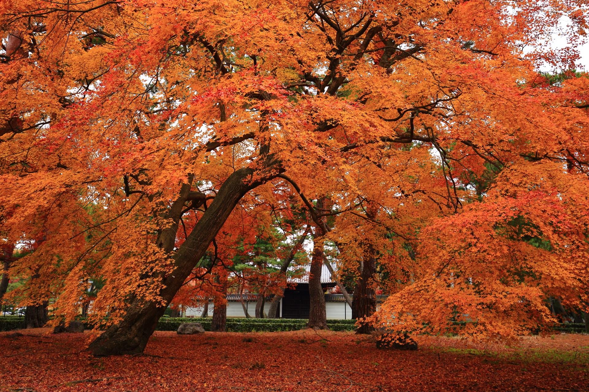 勅使門を錦にそめる美しい紅葉