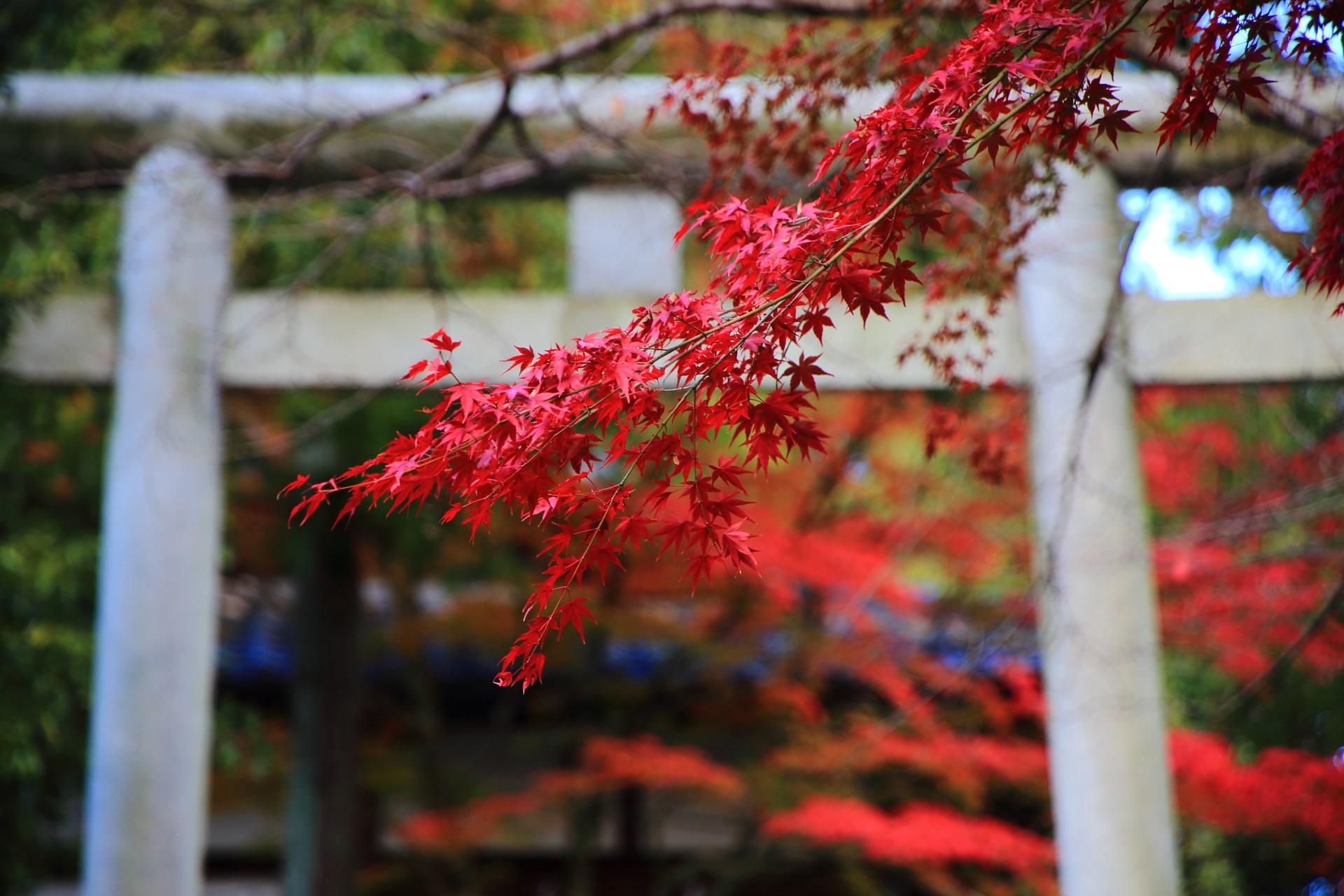 石鳥居を背景にした真っ赤に色づく紅葉