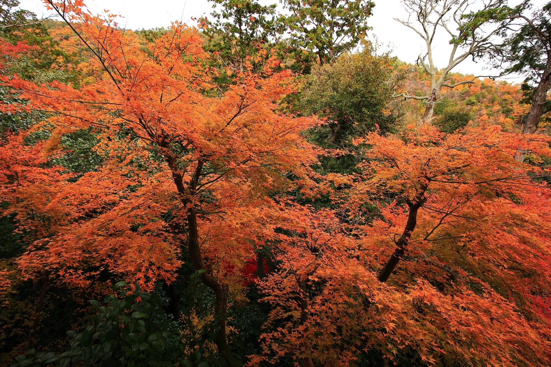 大悲閣千光寺の客殿正面に向かって左側のオレンジ系の煌びやかな紅葉