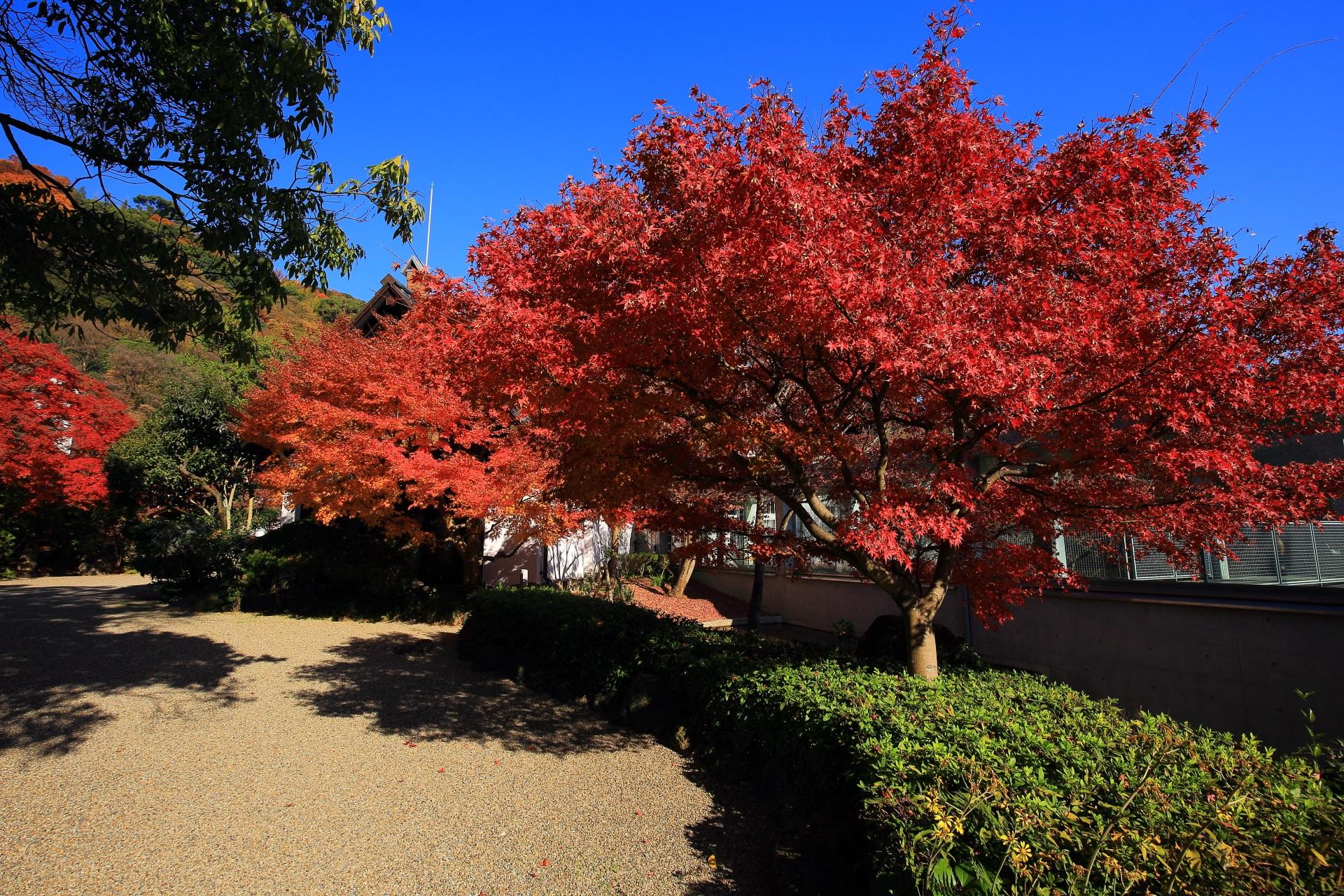 地中館と本館をつなぐ通路横の真っ赤な紅葉