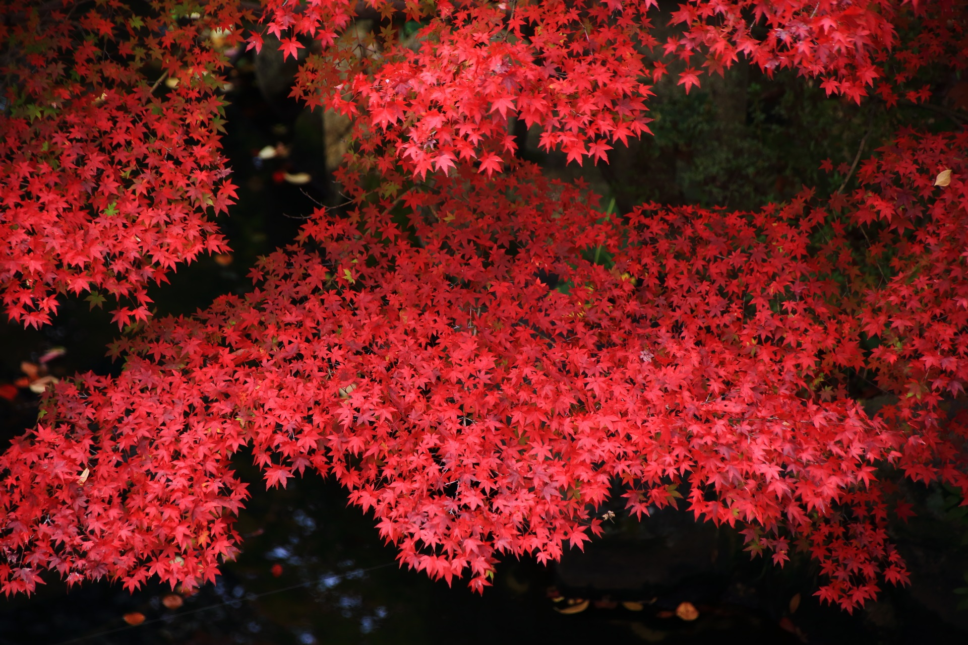 大谷本廟の葉っぱの状態が良い生き生きとした真っ赤な紅葉