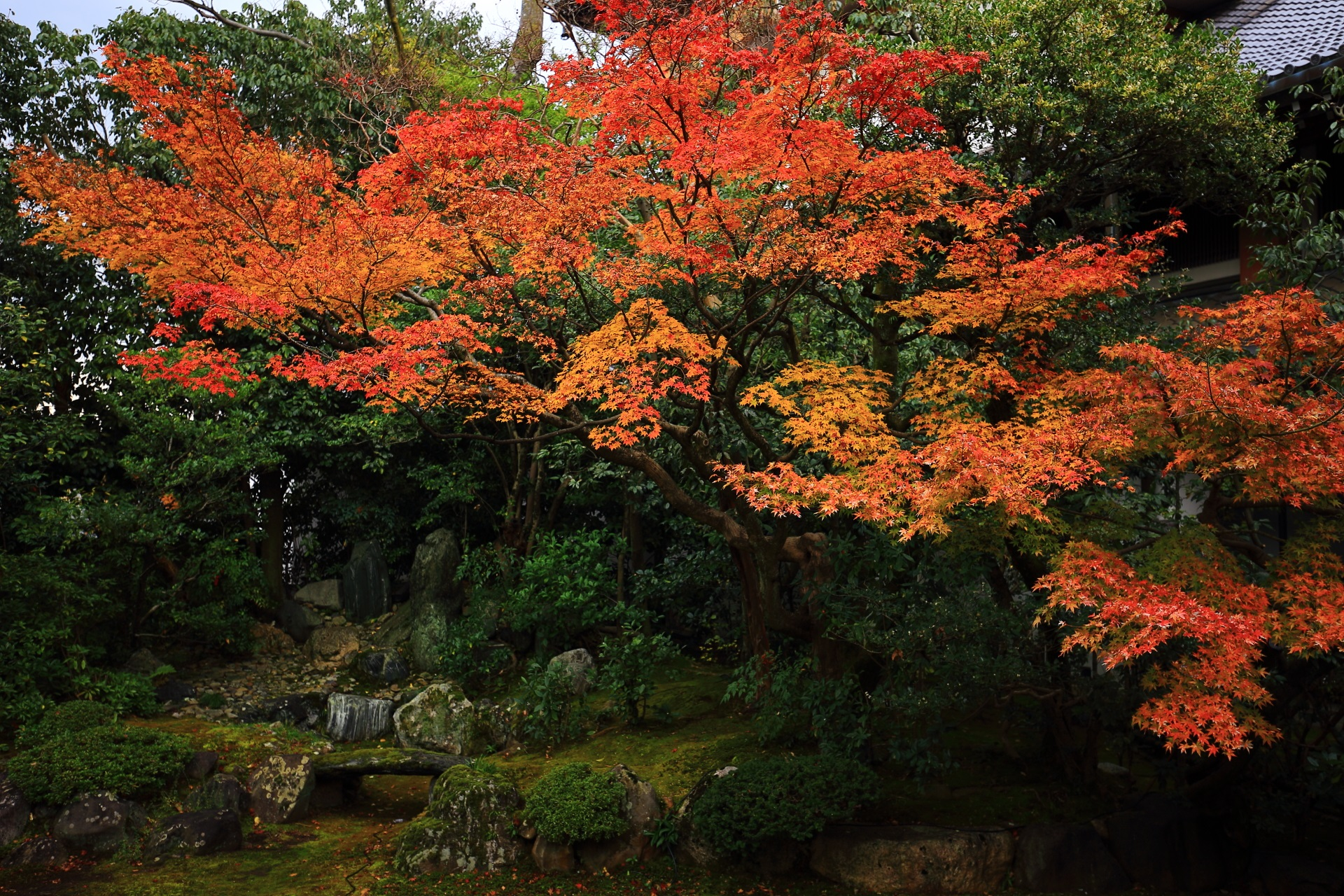 本法寺の庭園正面奥の築山と枯瀧を彩る鮮やかなオレンジ色の紅葉