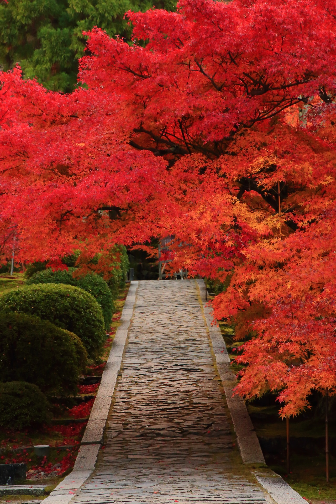 Luxurious autumnal leaves of Ikkyu-ji Temple in Kyoto