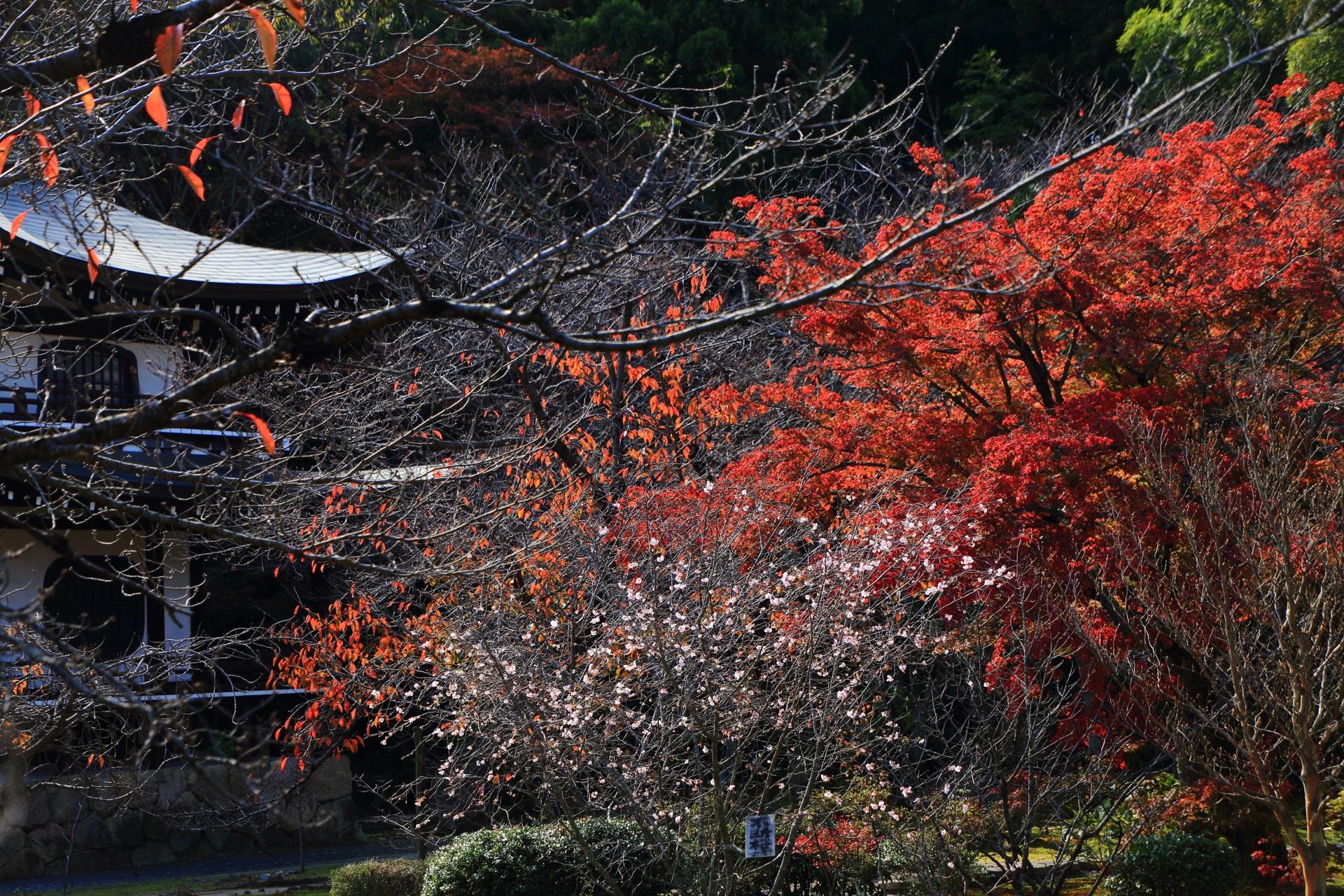 華やかな寒桜と鮮やかな紅葉