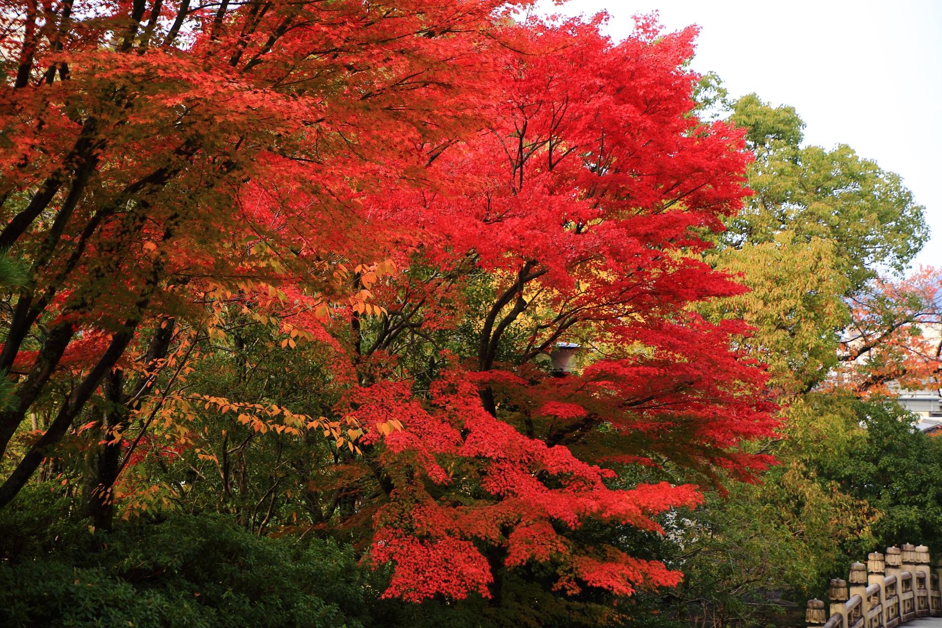 円通橋の上で溢れる真っ赤に色づく紅葉