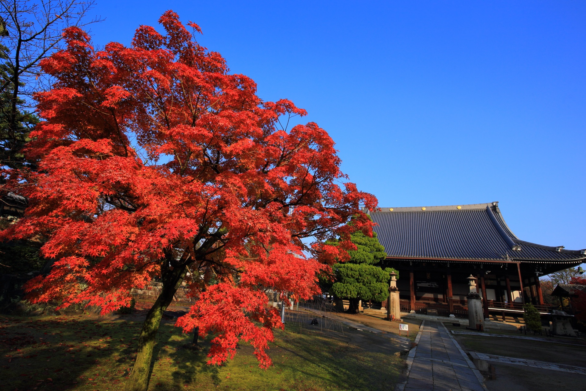 妙顕寺の雄大な本堂と青空を総会に彩る真紅の紅葉