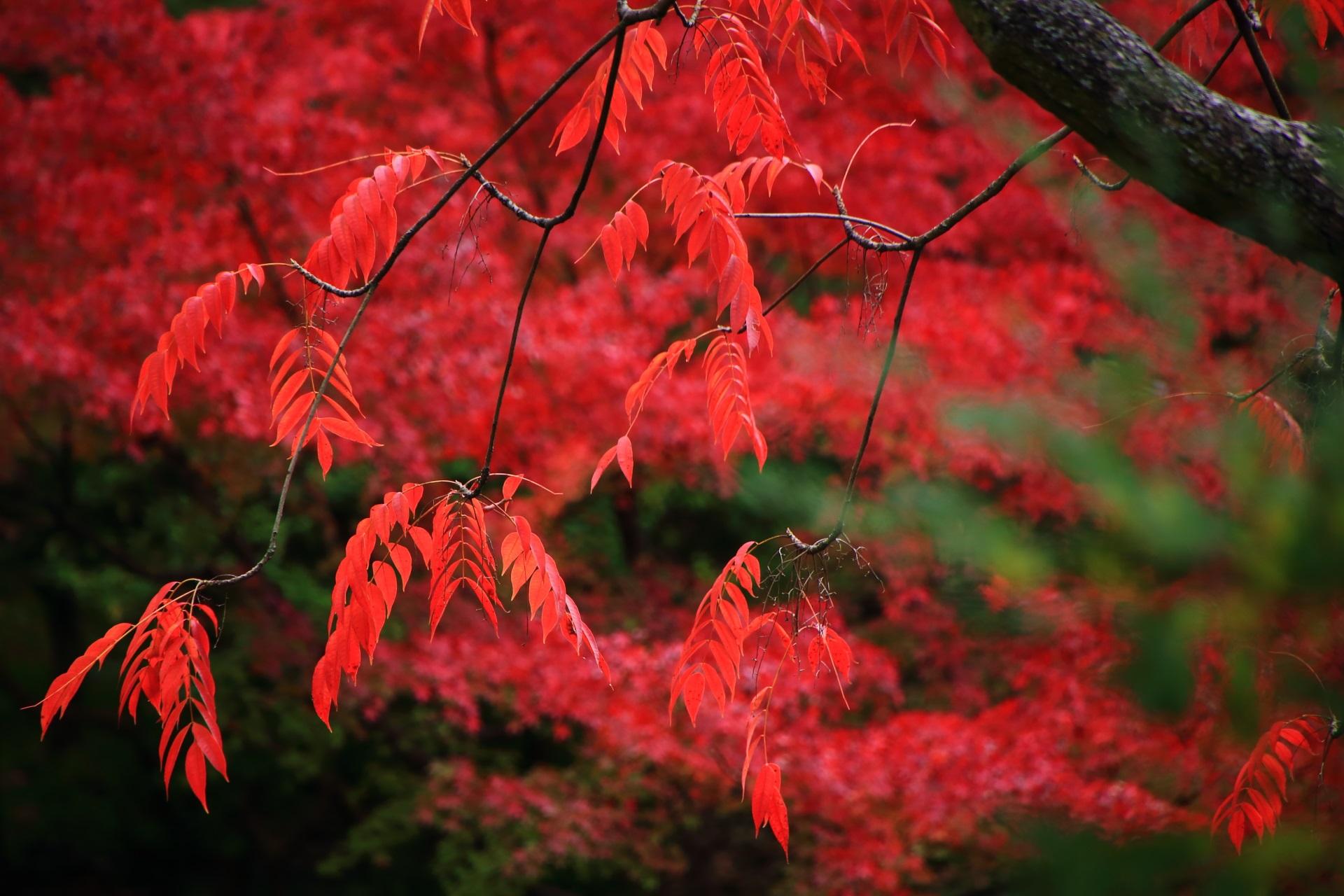 大谷本廟のもみじ以外の木の素晴らしい朱色の紅葉