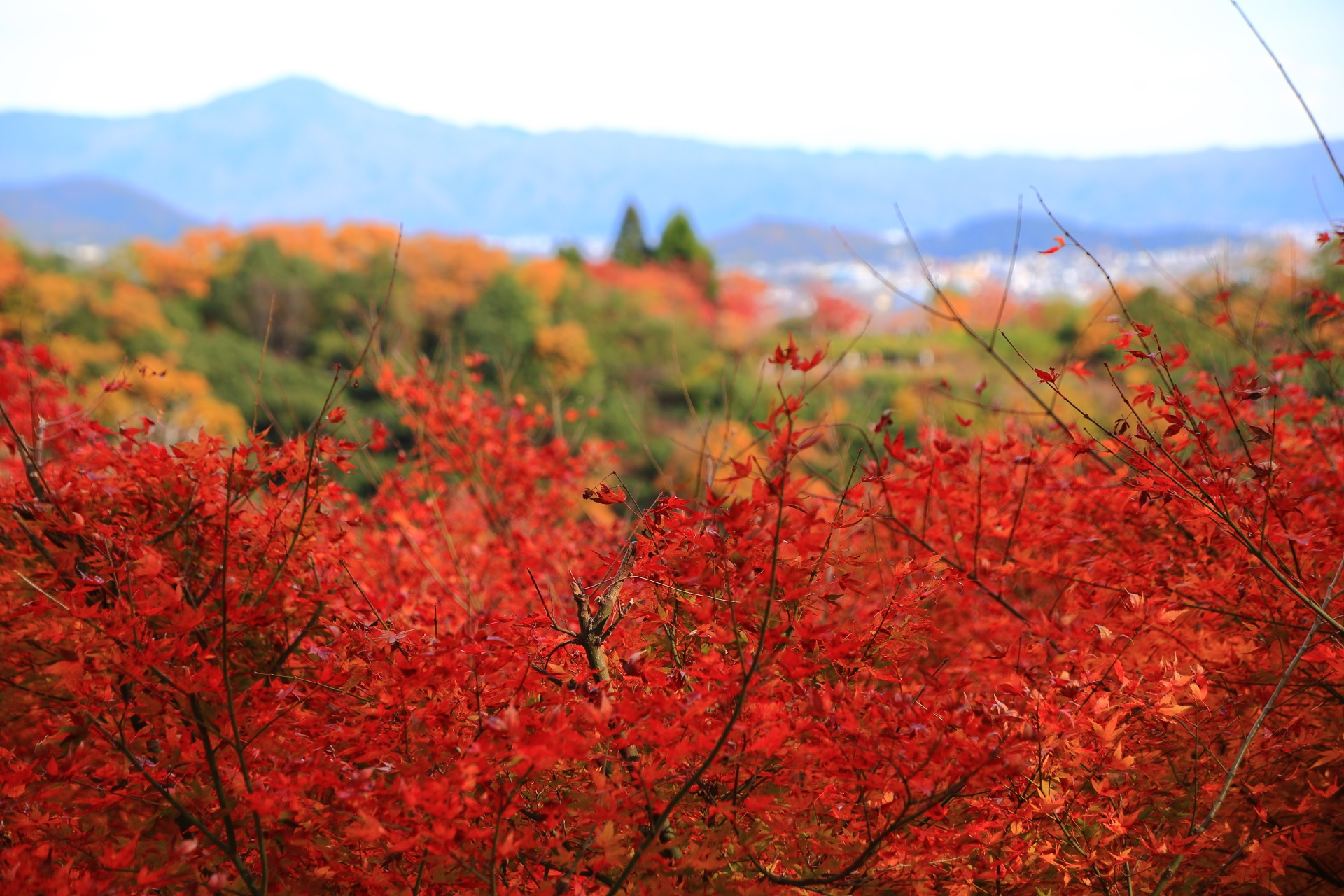 大悲閣千光寺の直ぐ目の前の溢れる真っ赤な紅葉