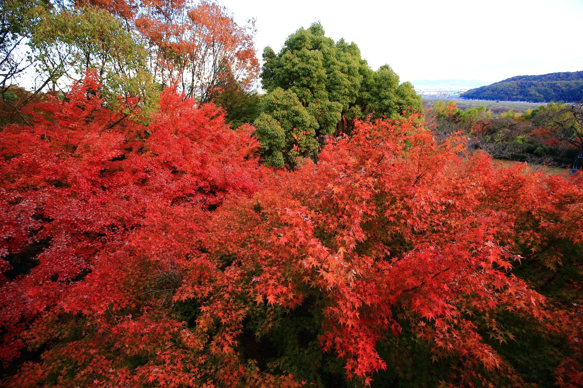 溢れ出す燃え上がるような真っ赤な紅葉