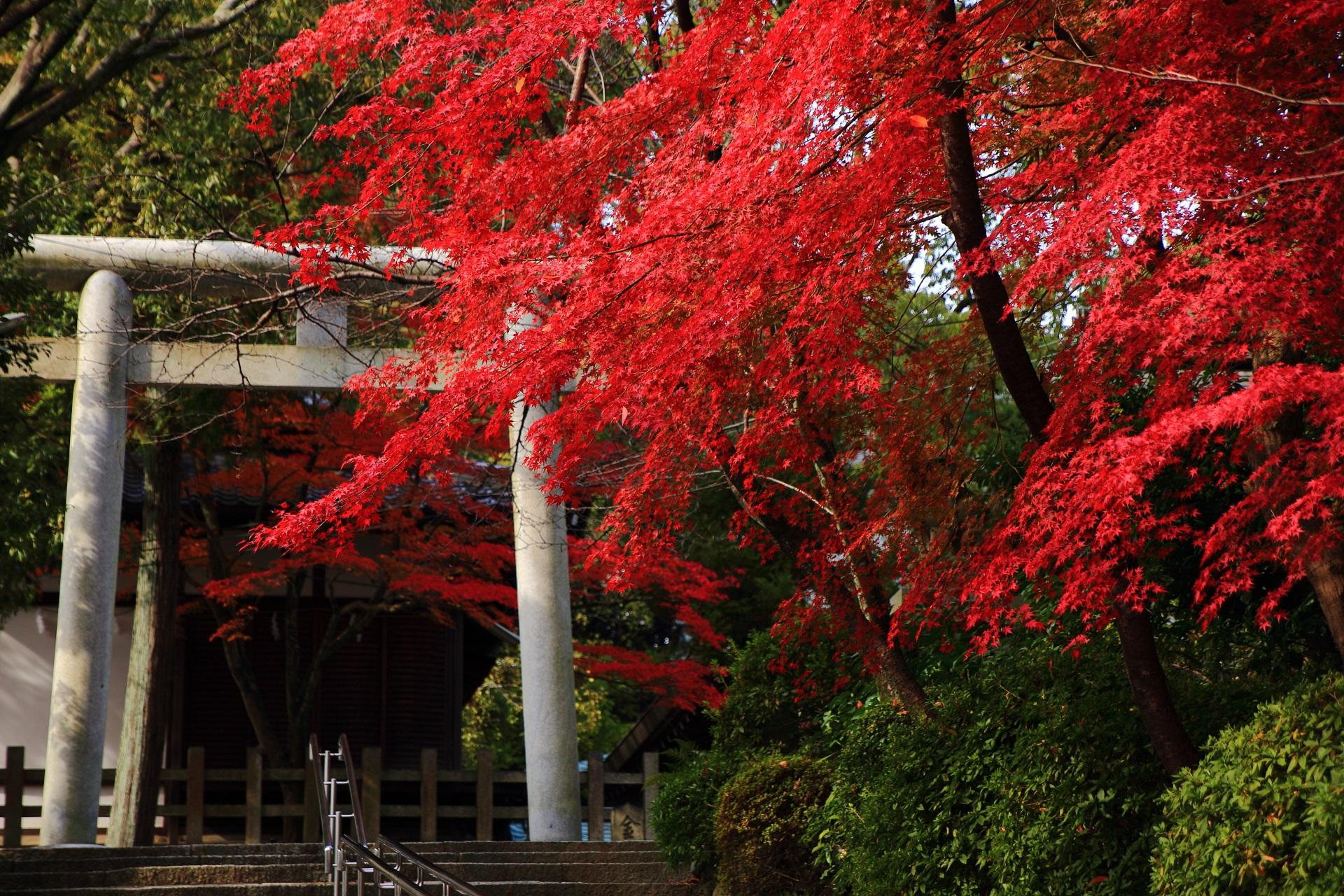 石の鳥居に映える美しい真っ赤な紅葉
