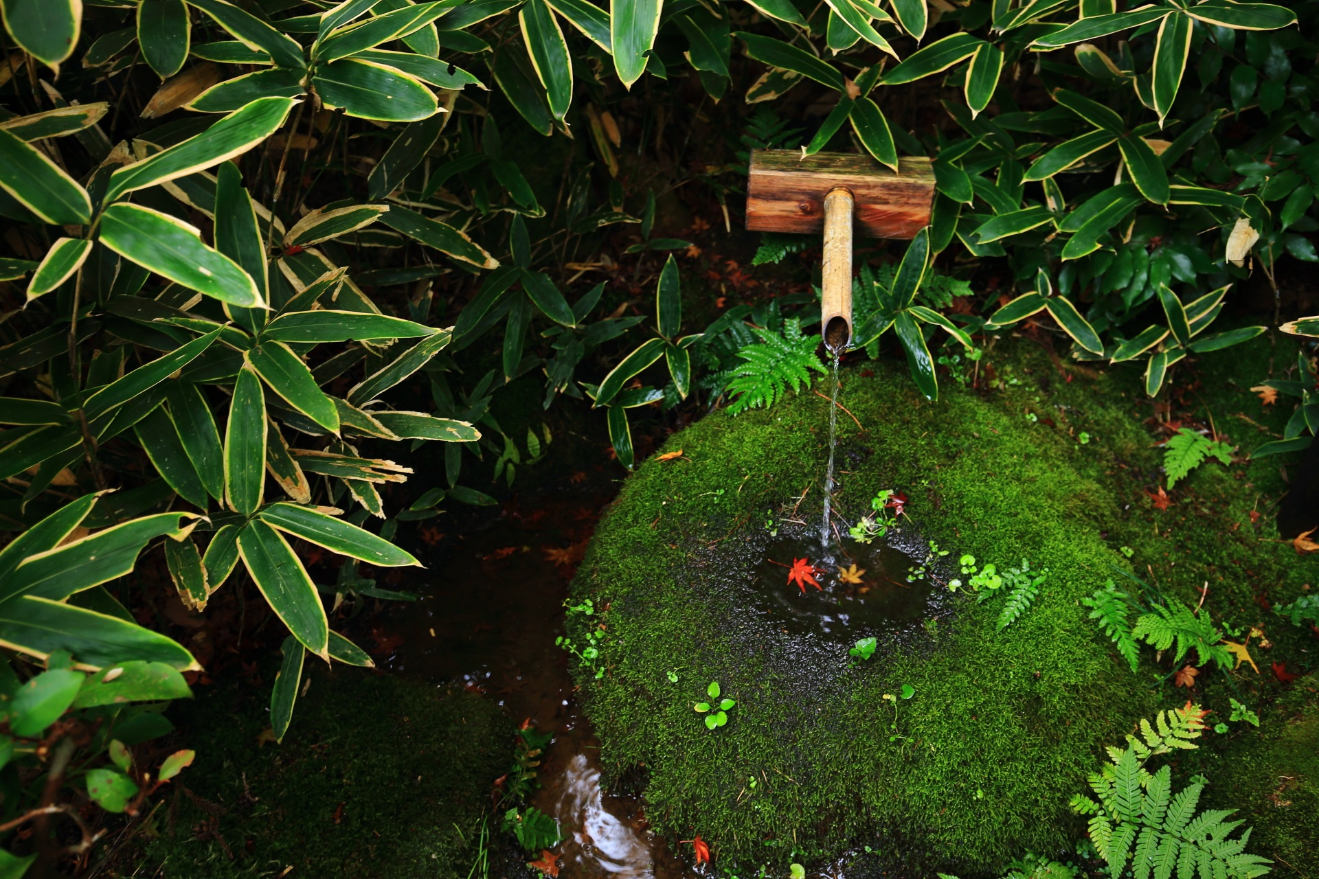 来迎院含翆庭の緑の苔と笹につつまれた風情ある蹲(つくばい)