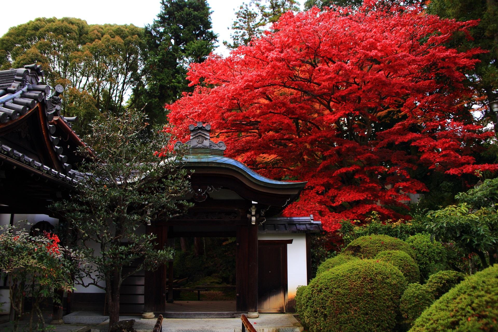 庭園入口の門(中門)の上で豪快に色づく真っ赤な紅葉