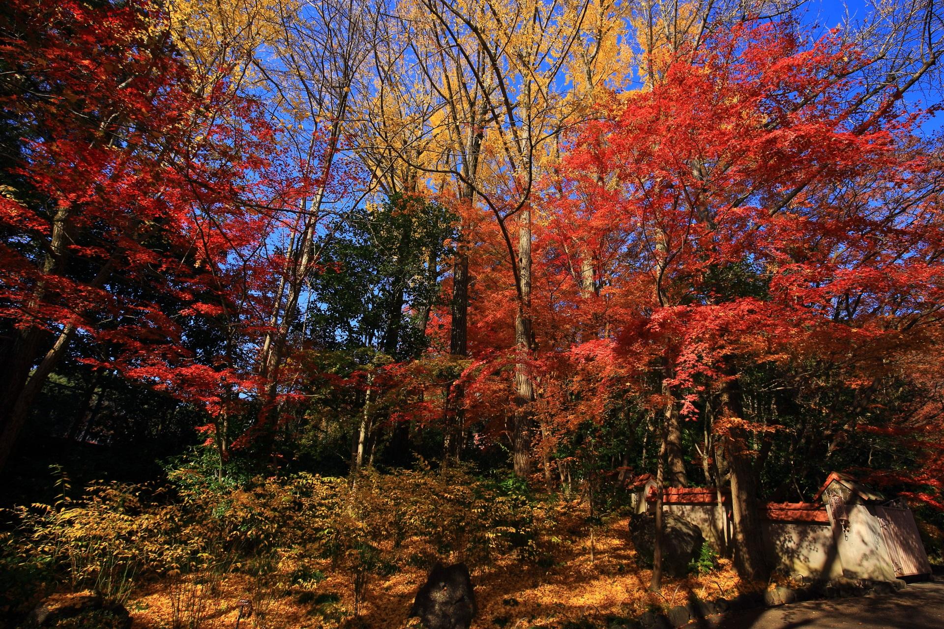 青空を秋色に染める真っ赤な紅葉と黄色い銀杏