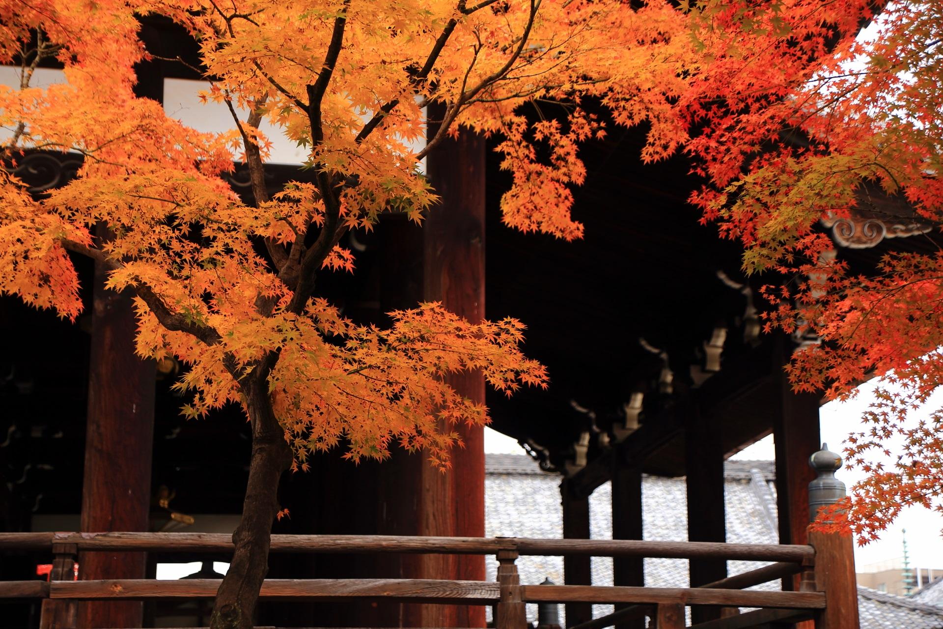 妙顕寺の本堂を華やぐ美しいオレンジ色の紅葉