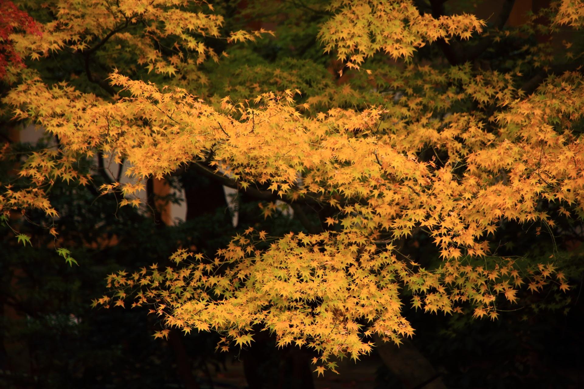 華やかで淡い色合いの紅葉