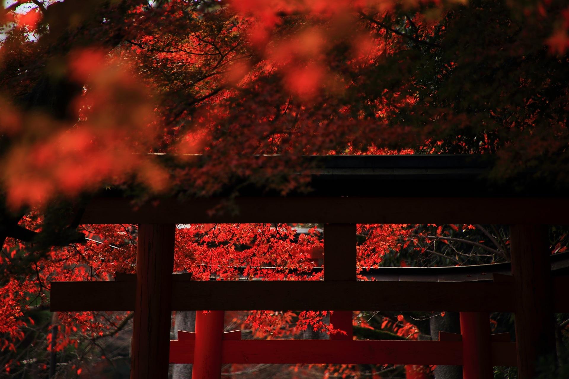 鳥居のシルエットからのぞく輝く真っ赤な紅葉