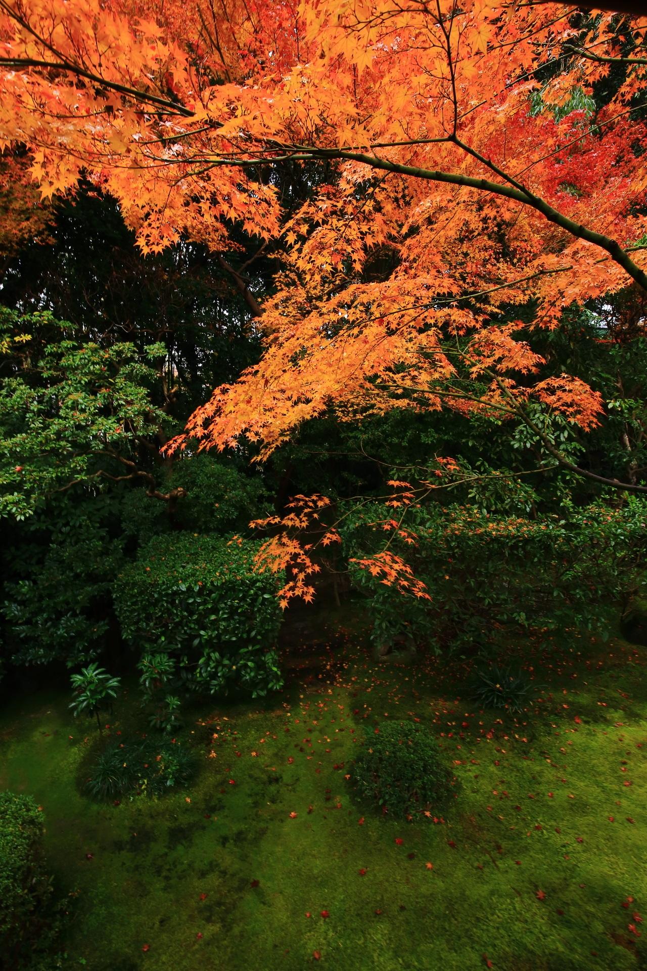 緑の侘の庭を彩る鮮やかなオレンジの紅葉