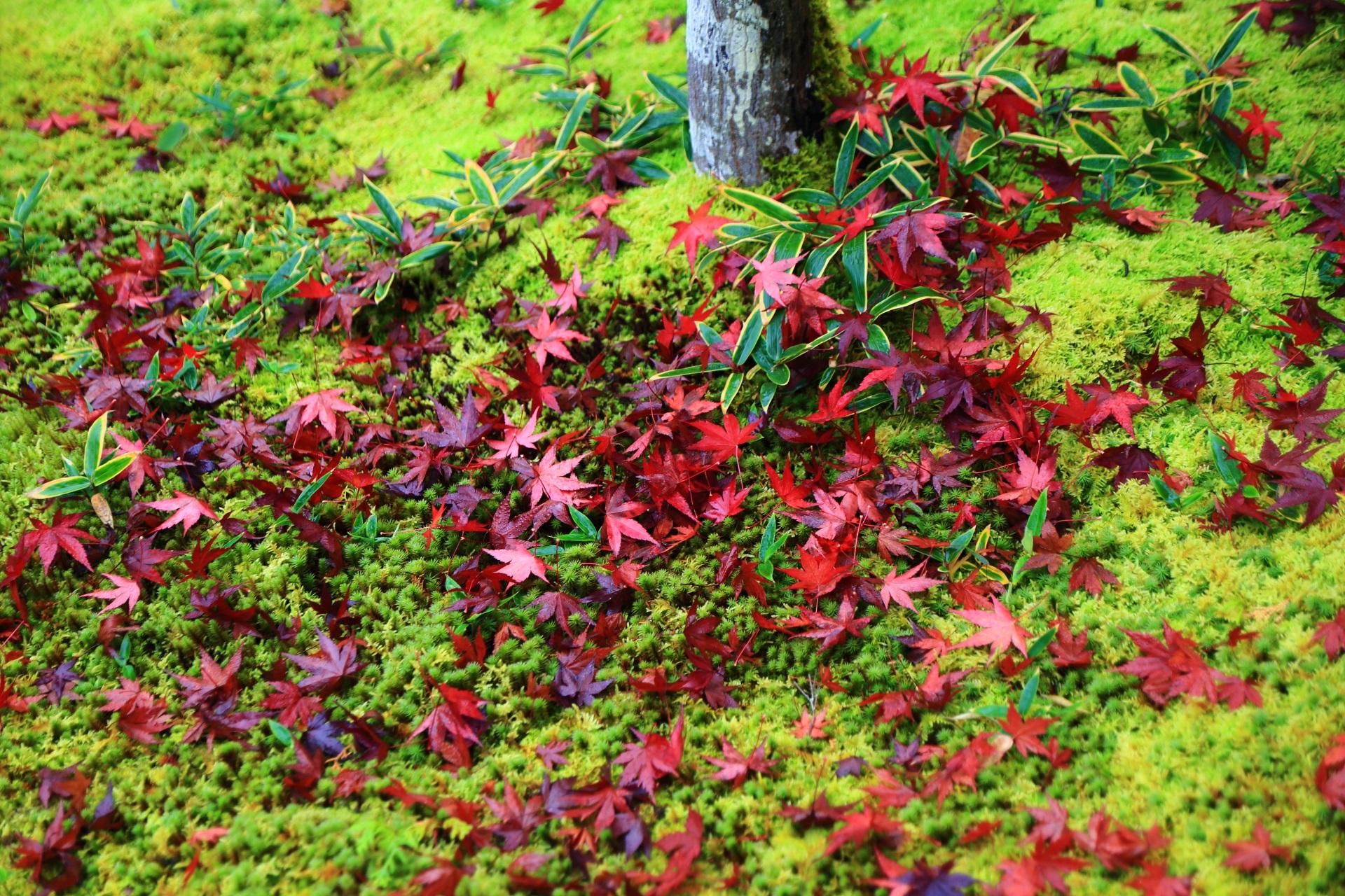 淡い緑の苔や植物を艶やかに彩る光悦寺の散り紅葉