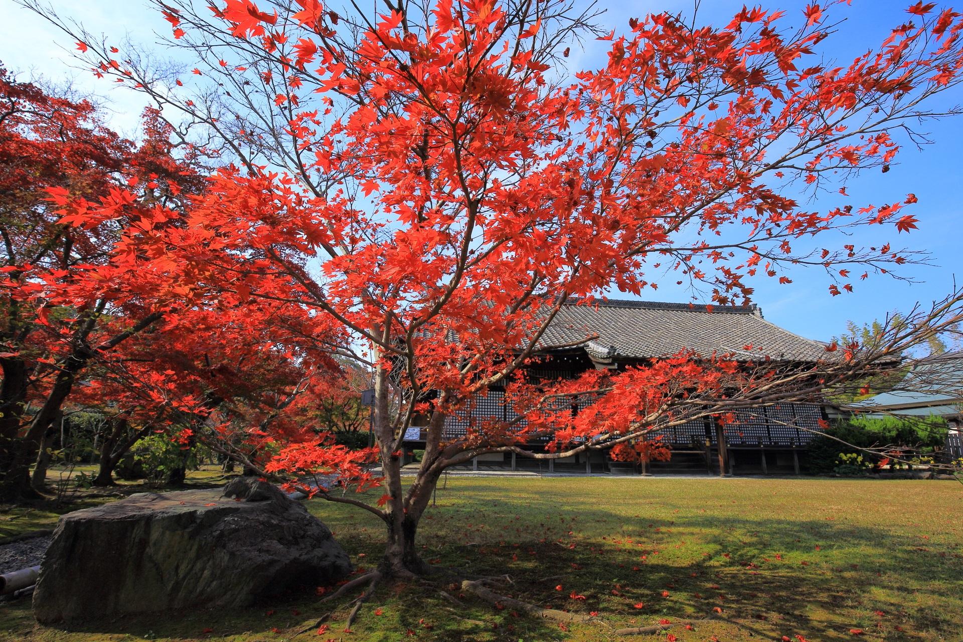 紅葉の穴場の青空に映える鮮烈な赤色の紅葉