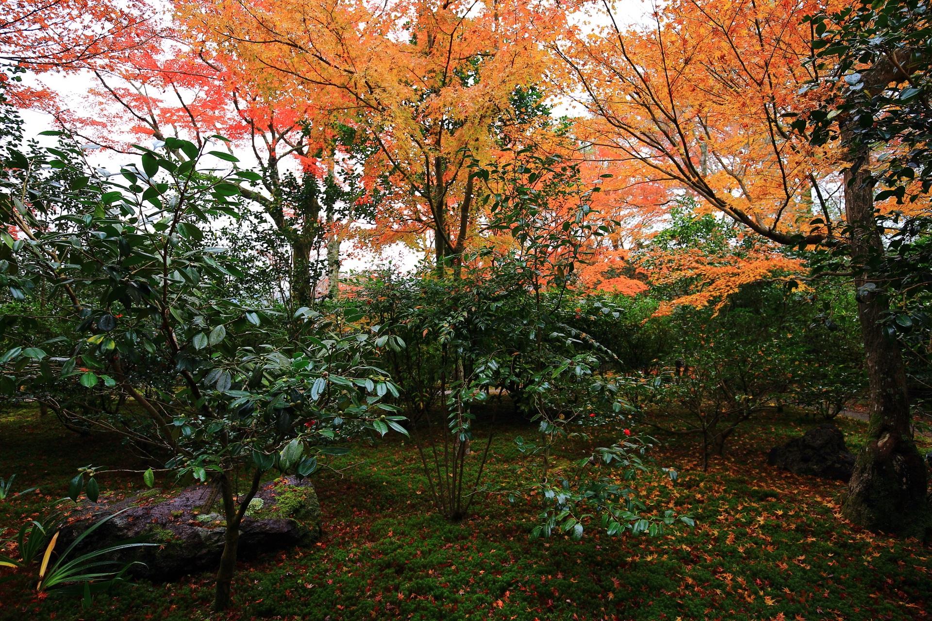 霊鑑寺楓の向かい側の苔と淡い紅葉の庭園
