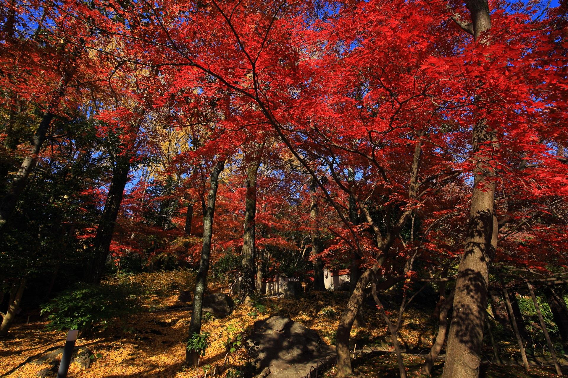 太陽を浴びて煌く鮮烈な赤さの紅葉