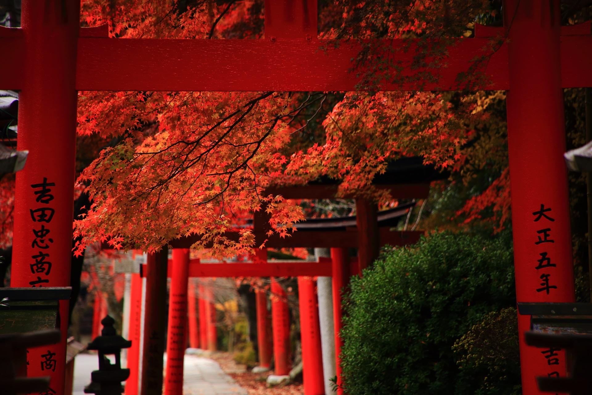 鳥居の間で華やかに煌く紅葉