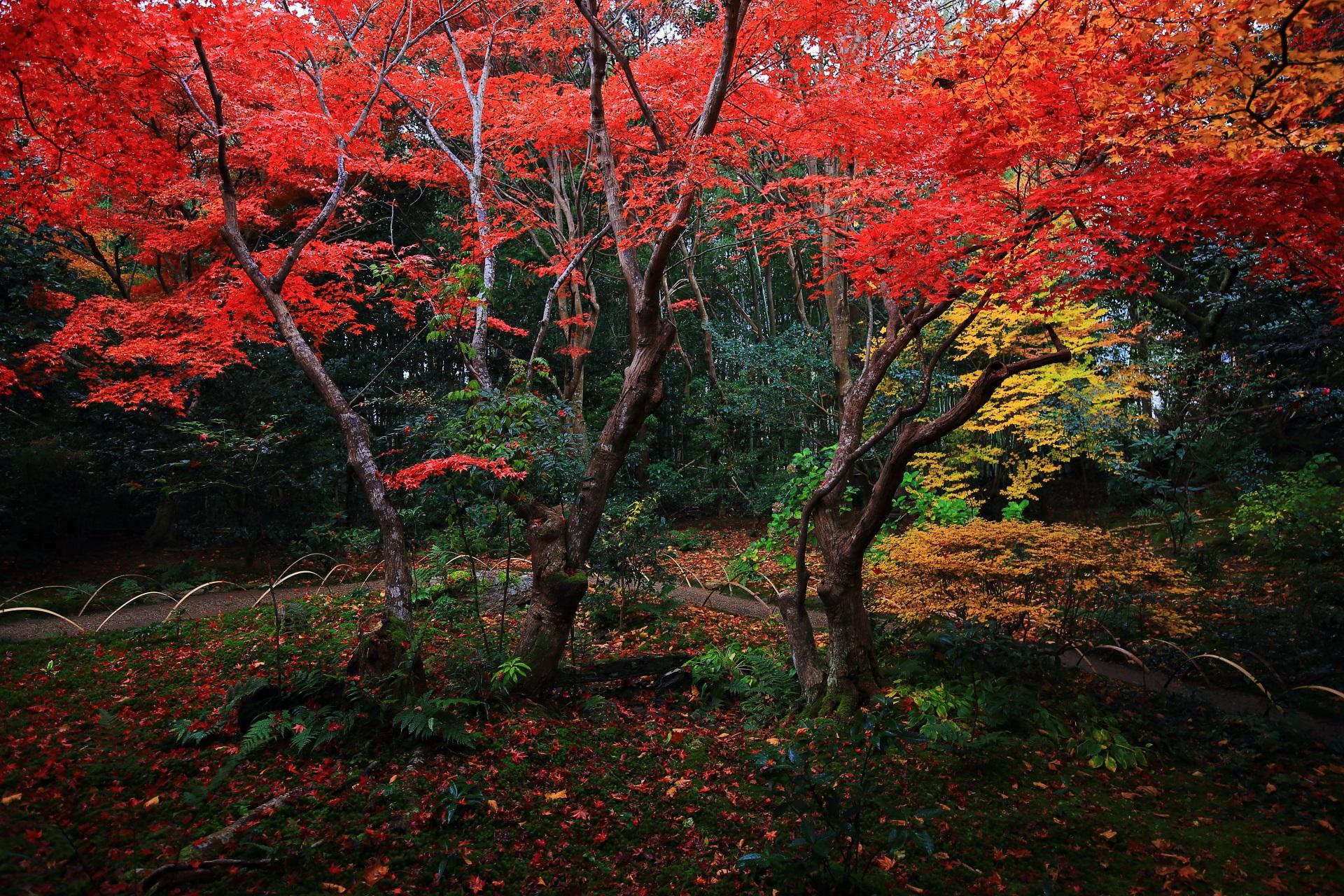 厭離庵の雨上がりの庭園をしっとりと染める鮮烈な色合いの紅葉
