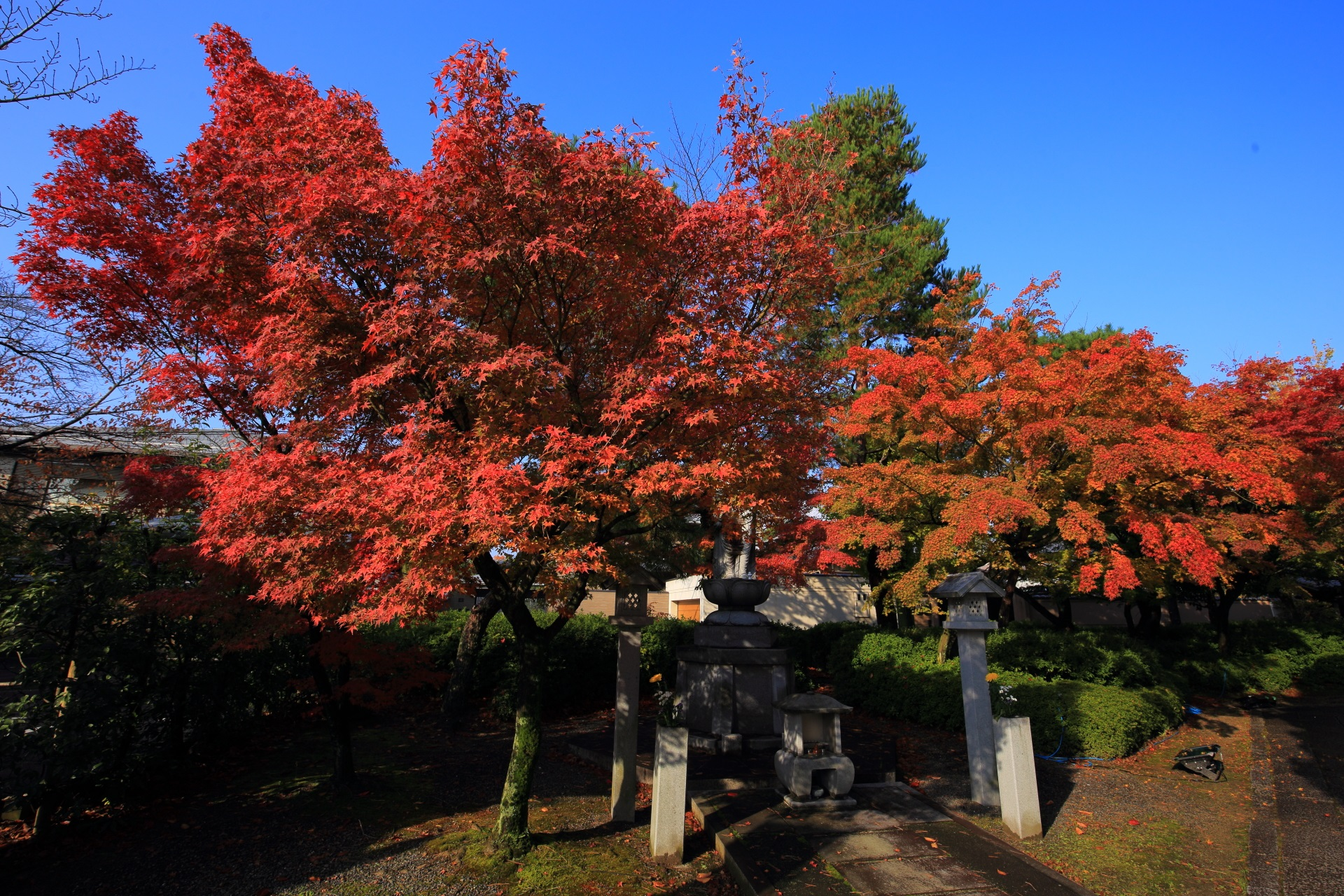 妙顕寺の青空の下の燃えるような紅葉