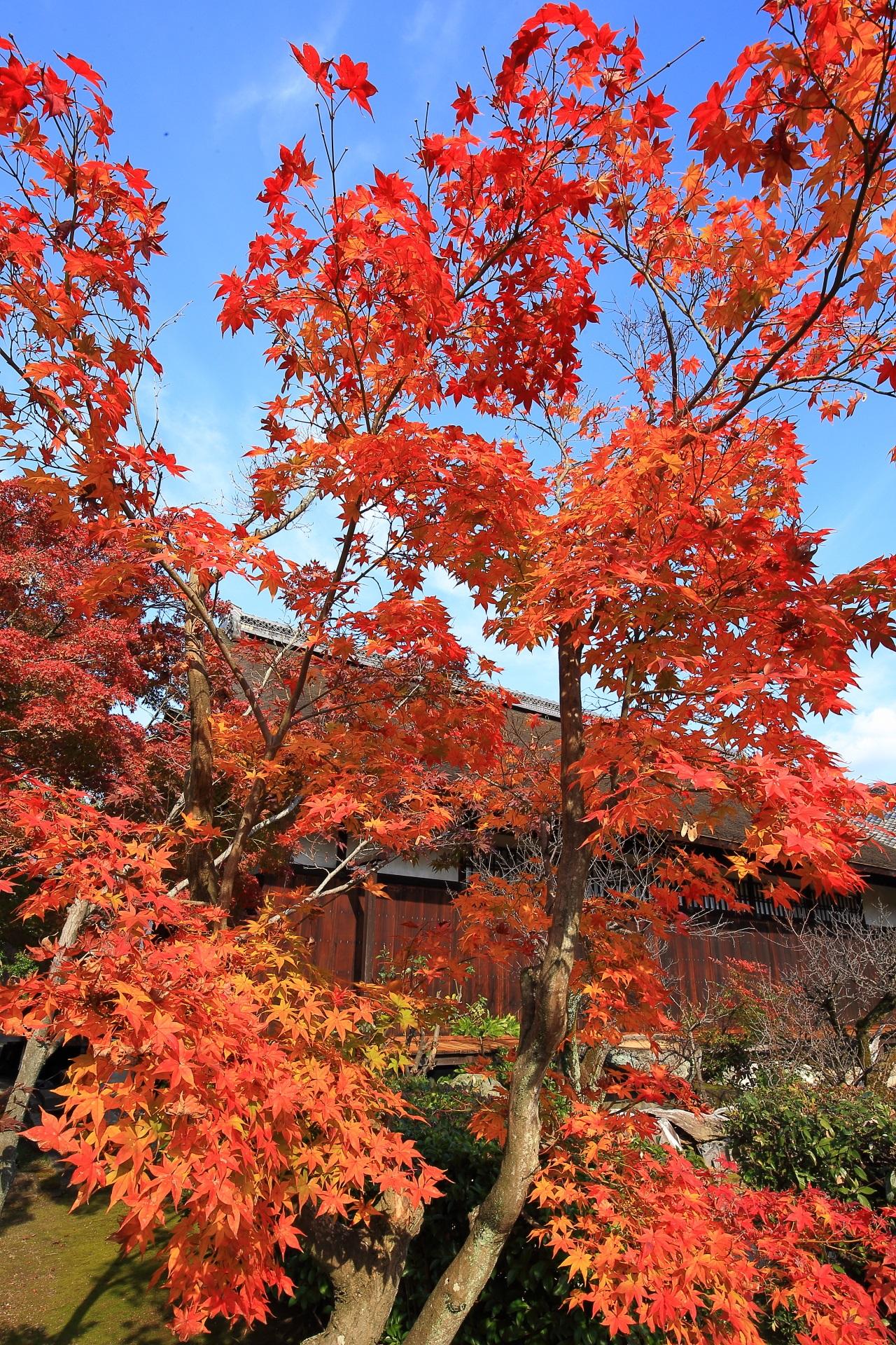 空を秋色に染める赤とオレンジの中間のような色合いの美しい紅葉
