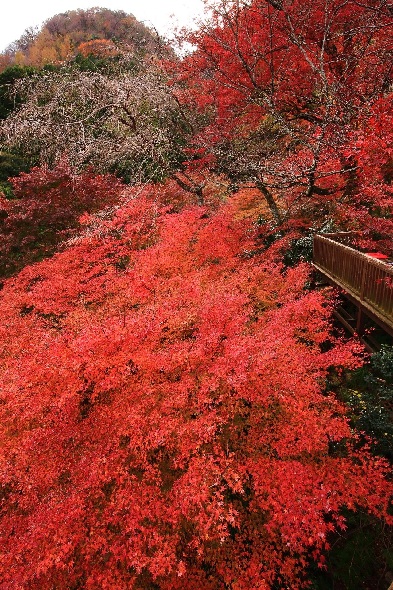 葉の密度が濃く鮮やかな色づきの圧巻の紅葉