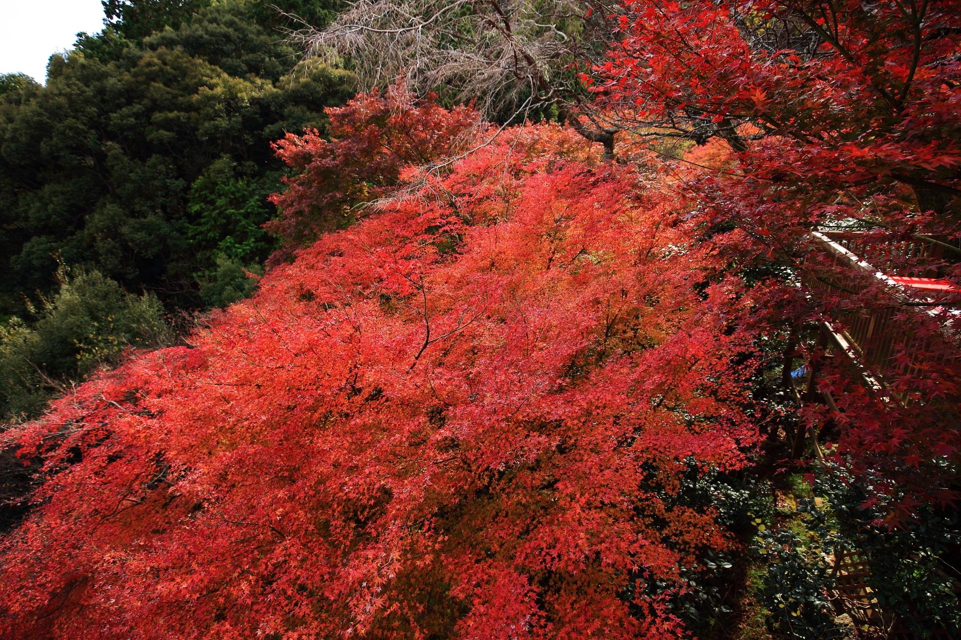 大悲閣千光寺の茶所前の豪快に溢れ出す真っ赤な紅葉