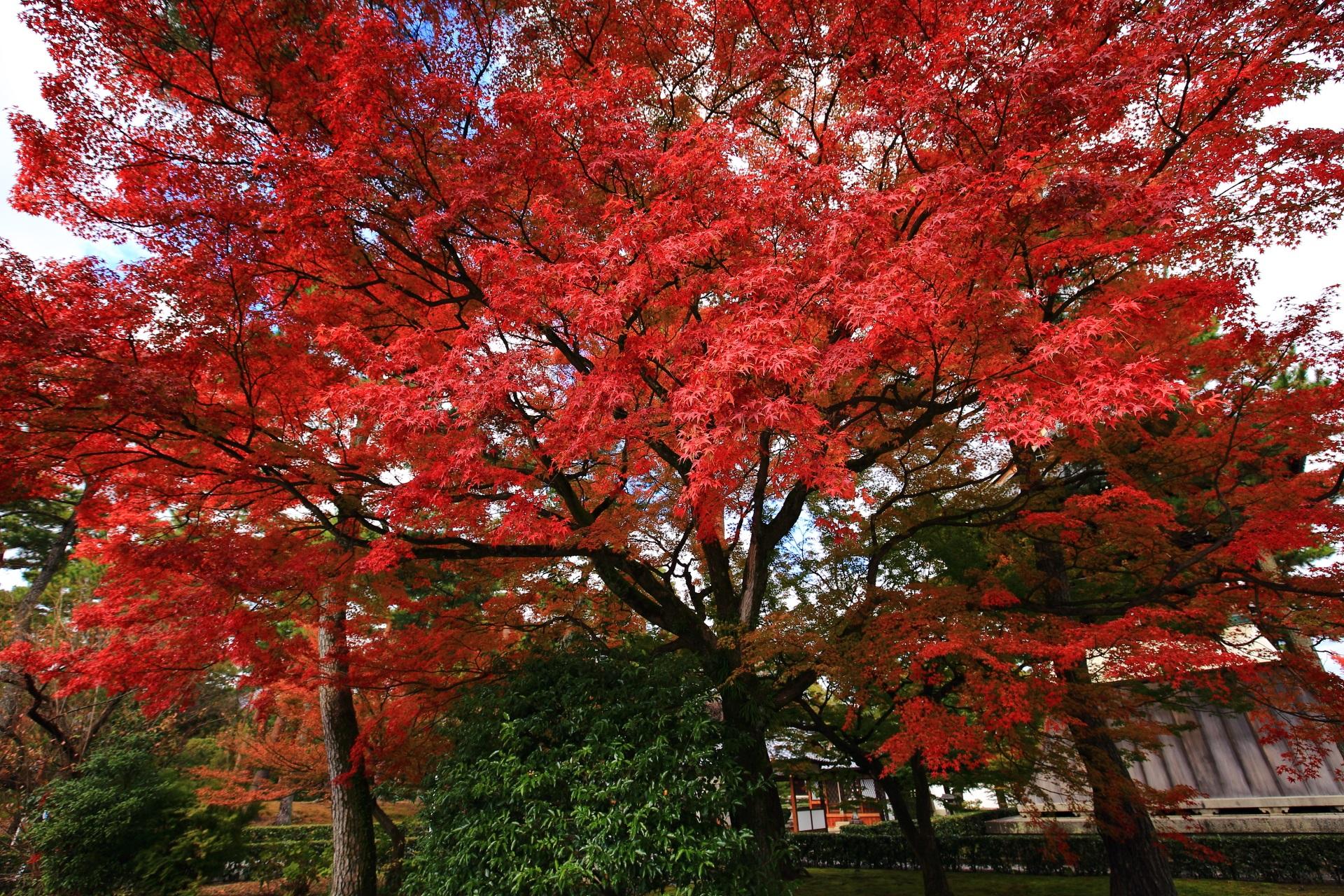 見事な色づきの雄大な紅葉
