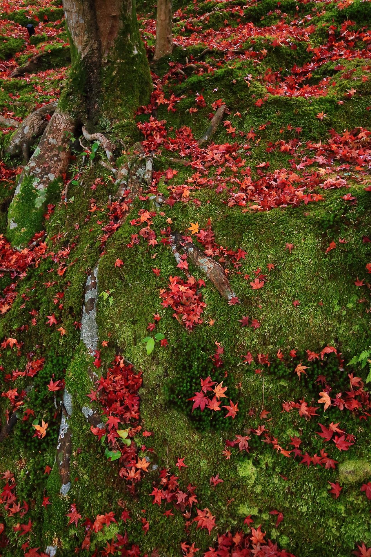 木の根と苔を染める鮮やかな散りもみじ