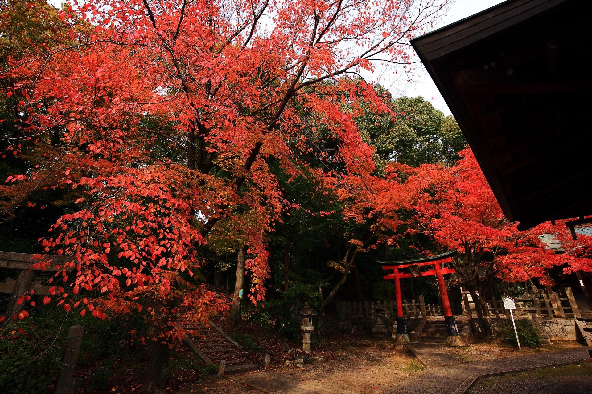 竹中稲荷神社の見事な発色の雄大で美しい桜の紅葉