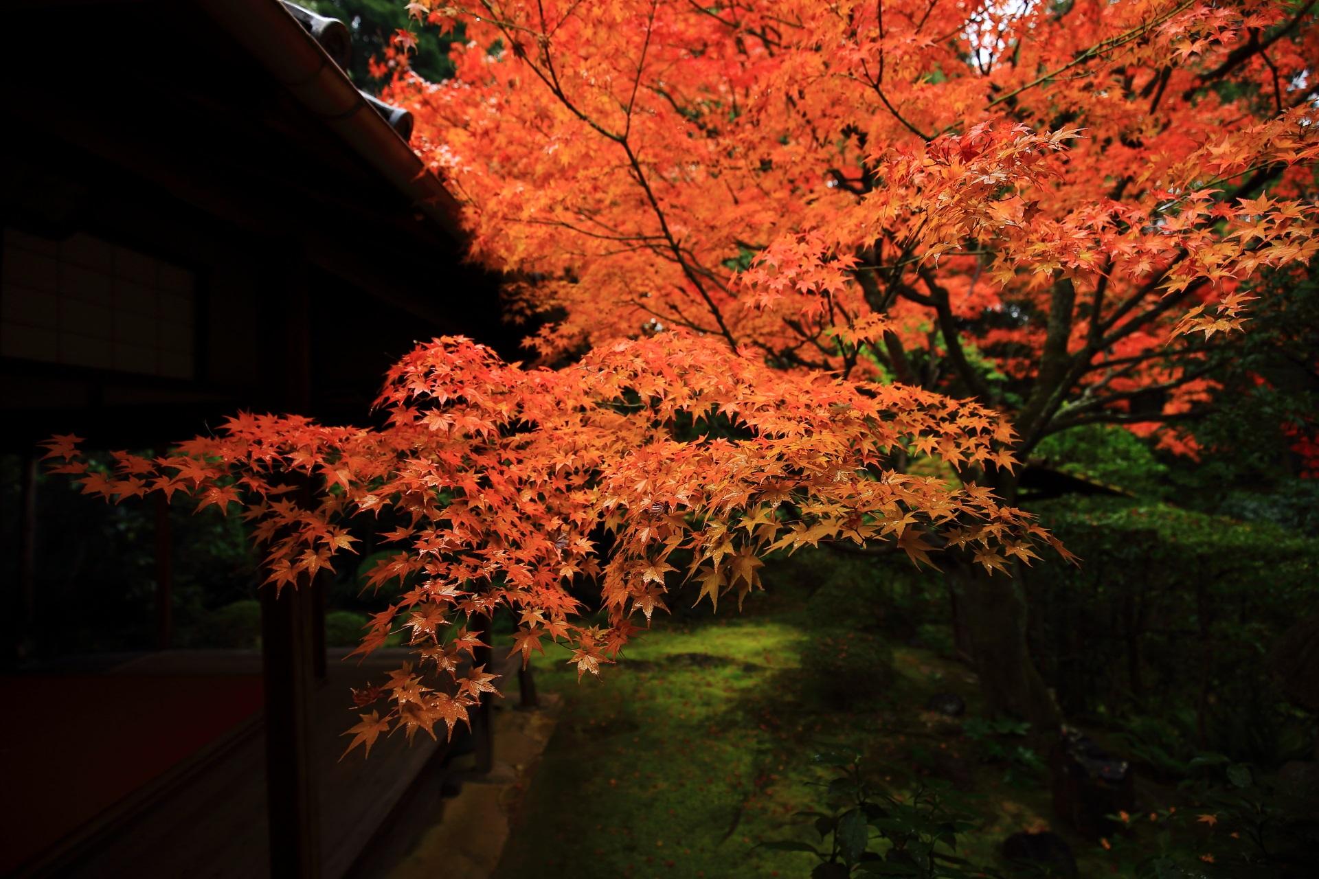 葉の状態も非常に良さそうな桂春院の溢れんばかりの紅葉