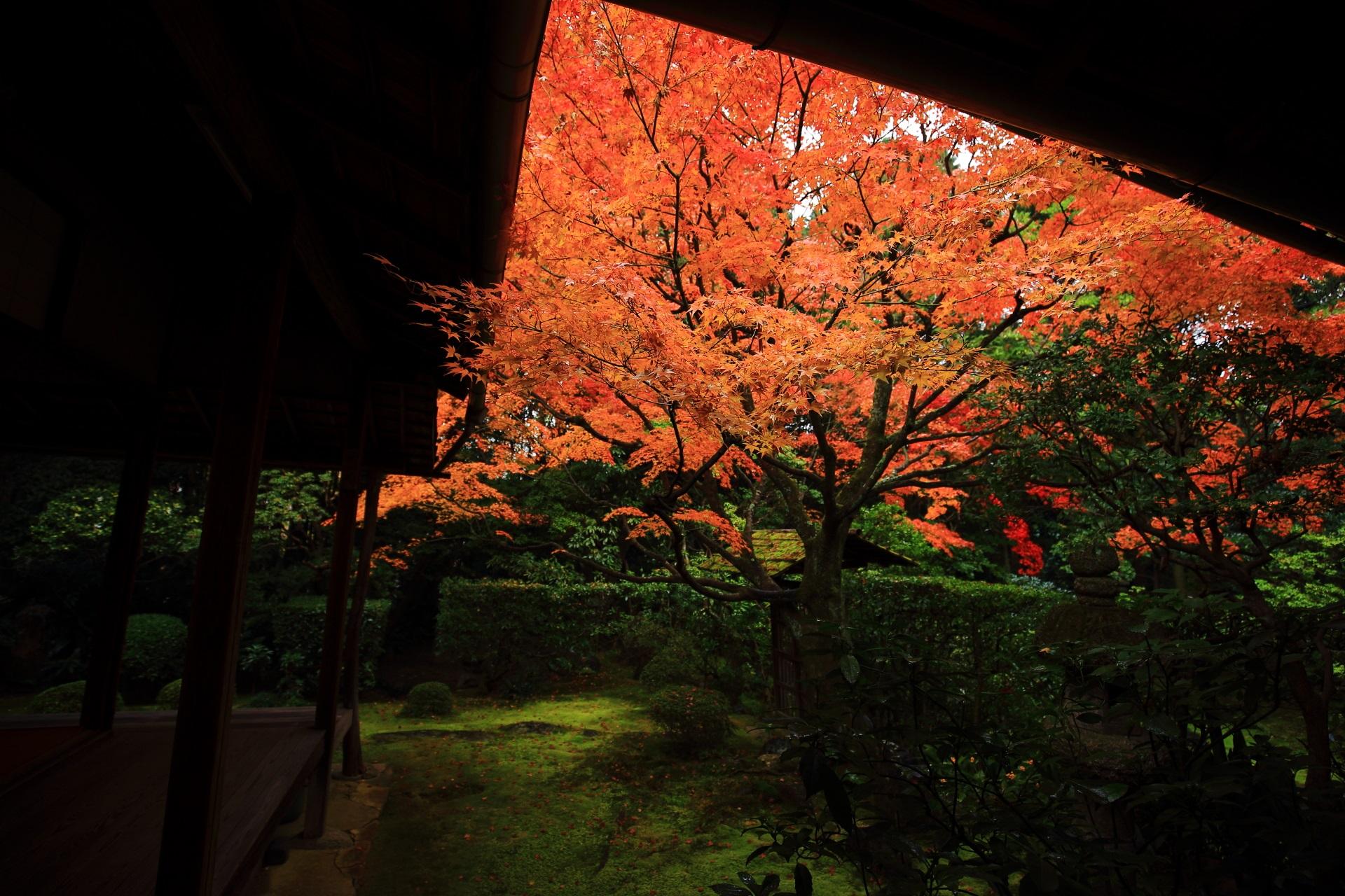 書院の軒を覆う侘の庭の鮮やかな紅葉
