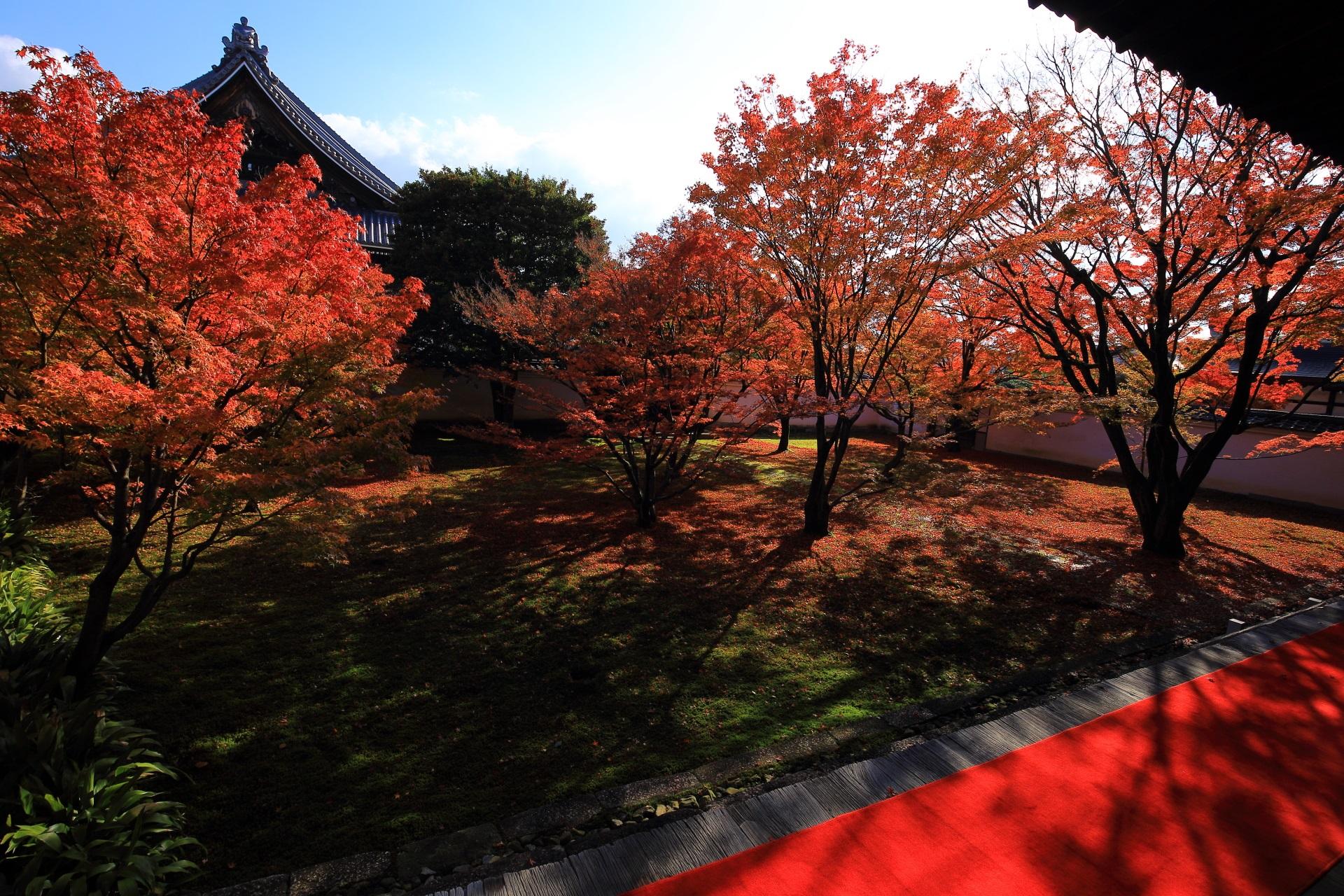 妙覚寺の太陽に照らされて煌びやかに輝く紅葉