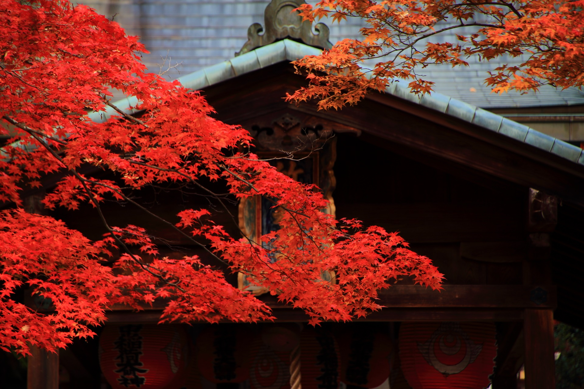 秋風に揺らぐ本殿を染める艶やかな紅葉