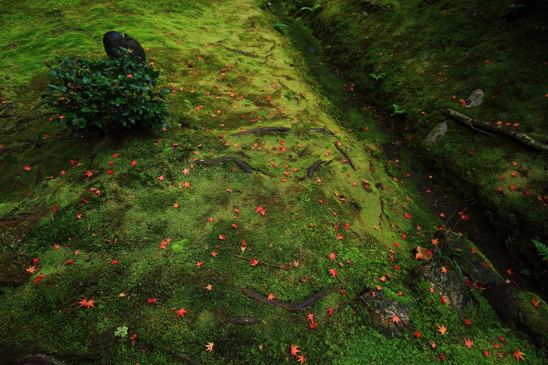 桂春院の落ち着いた緑の苔を彩る鮮やかな赤系の散りもみじ