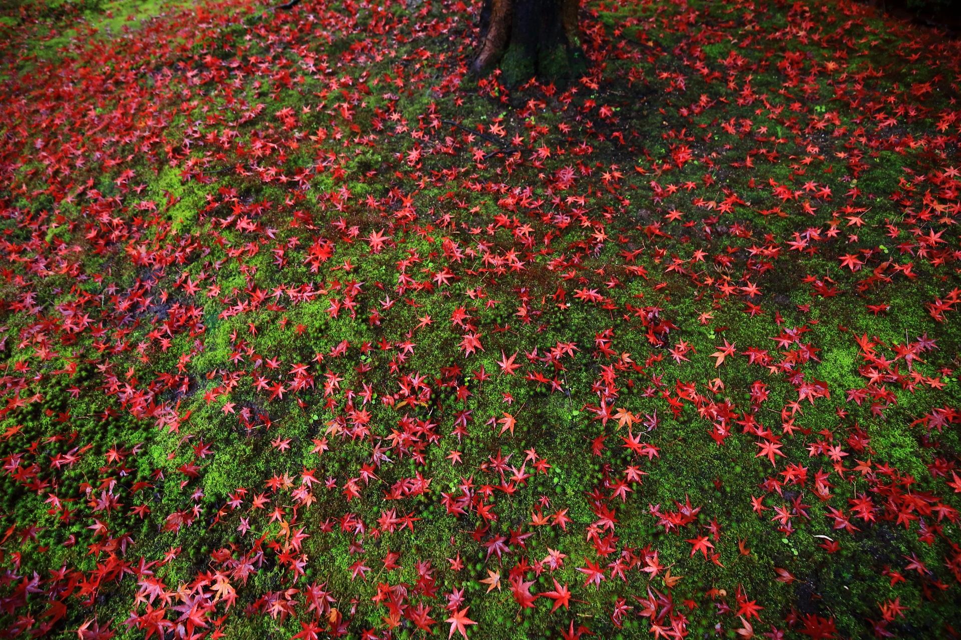 智積院の緑の苔を染める鮮烈な赤い散り紅葉