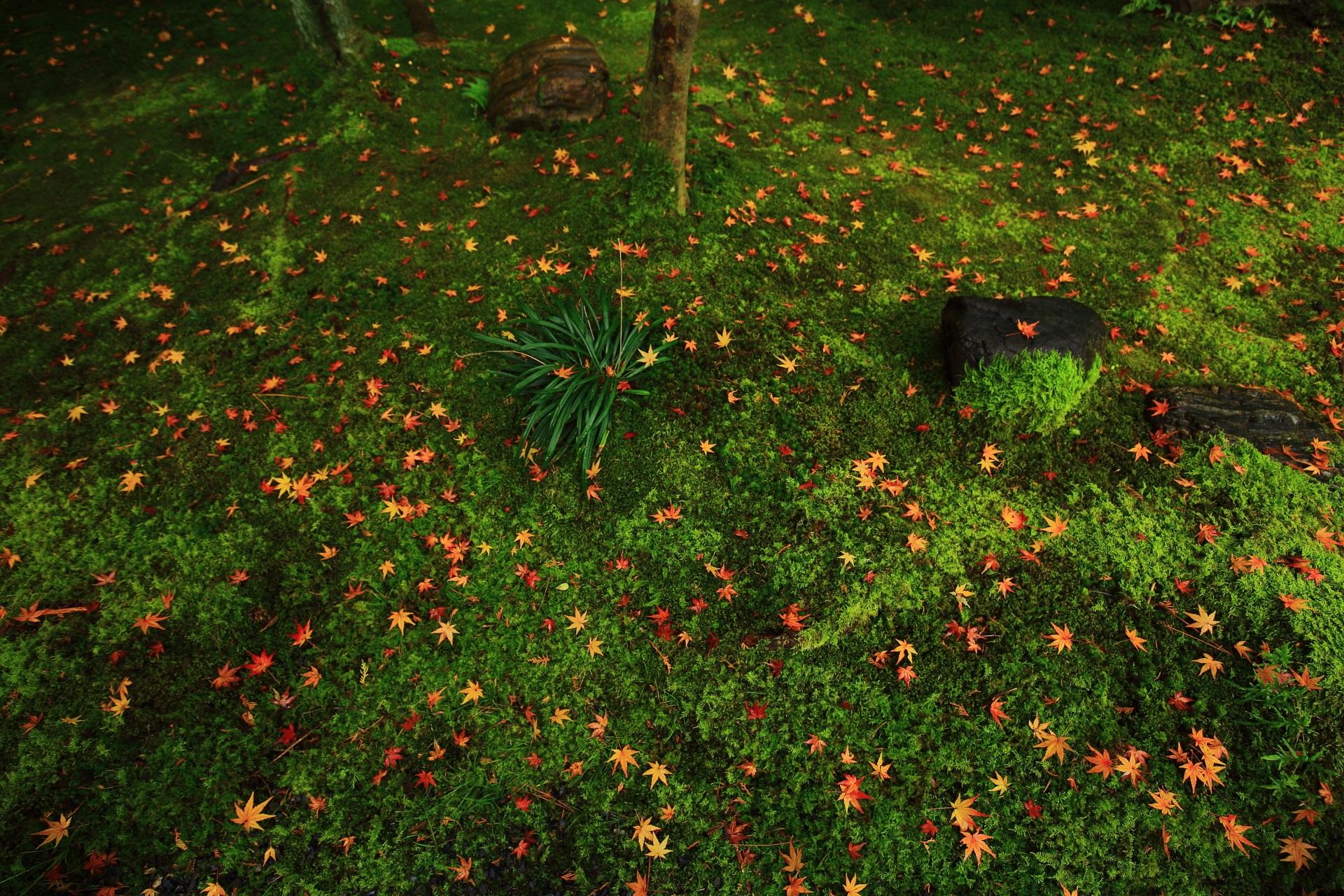 桂春院の苔や植物を賑やかに彩る煌びやかな散りもみじ