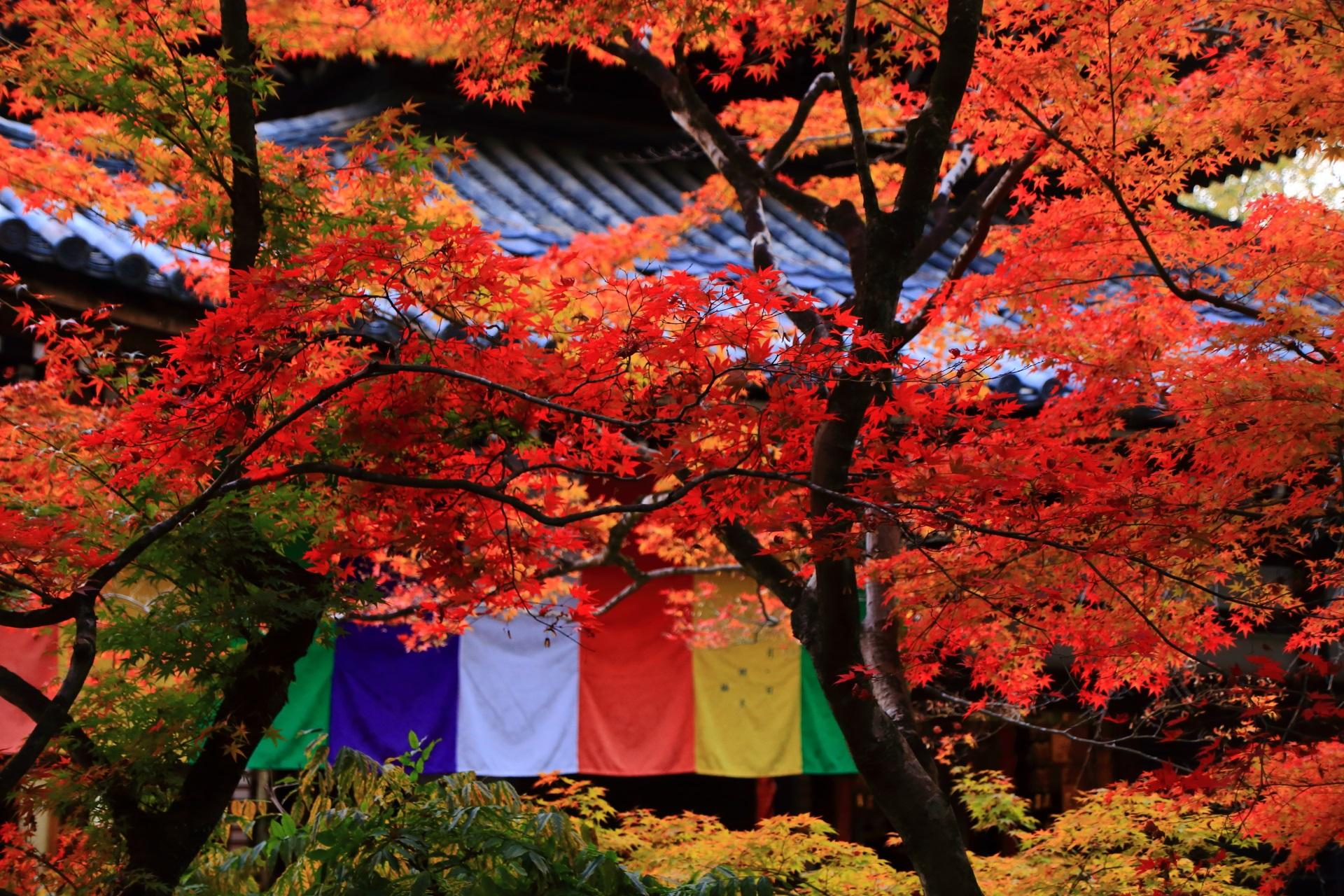 本堂を背景にした見ごろの紅葉と鮮やかな色の競演